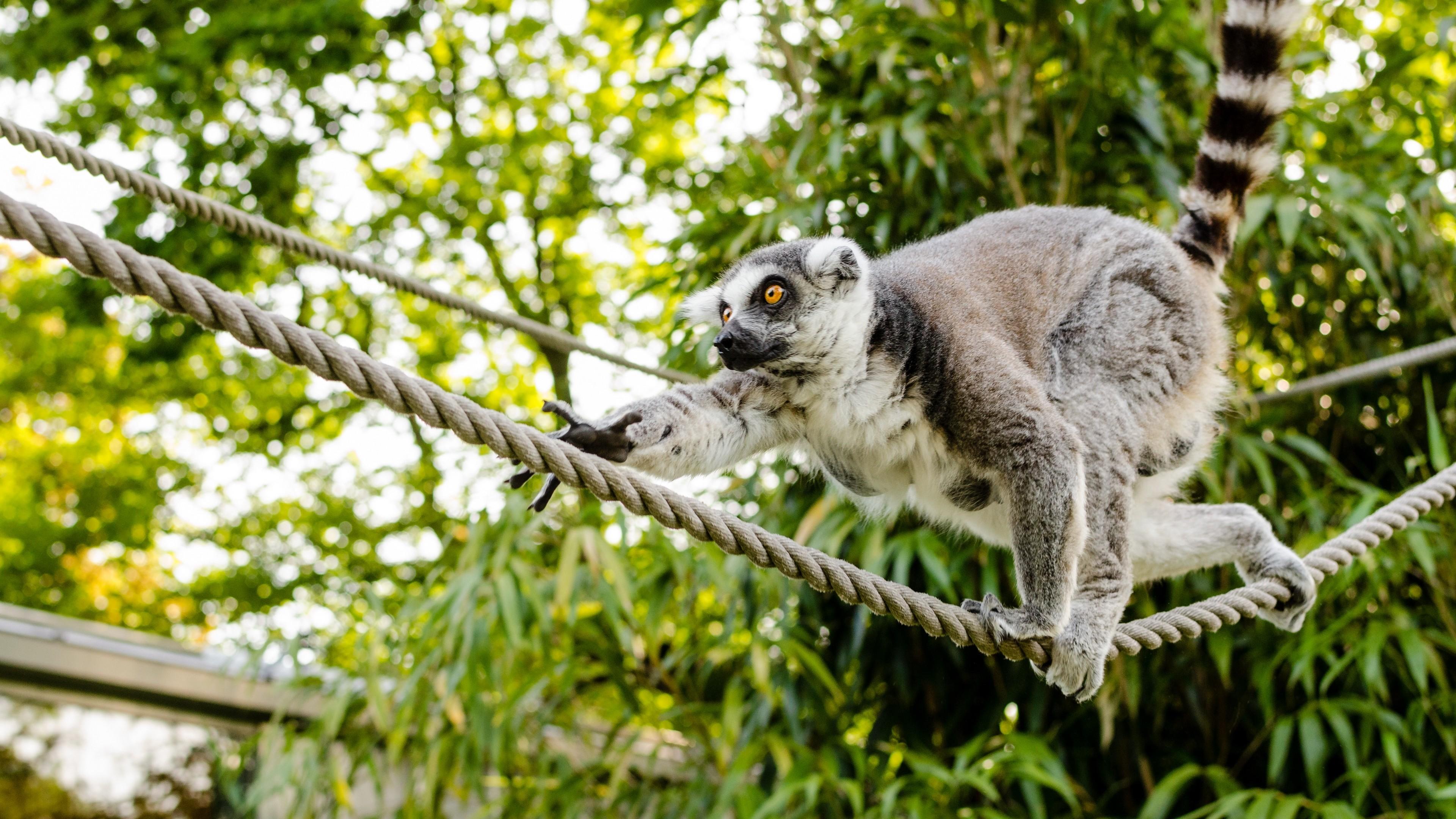 Res: 3840x2160,  Wallpaper ring-tailed lemur, lemur, katta