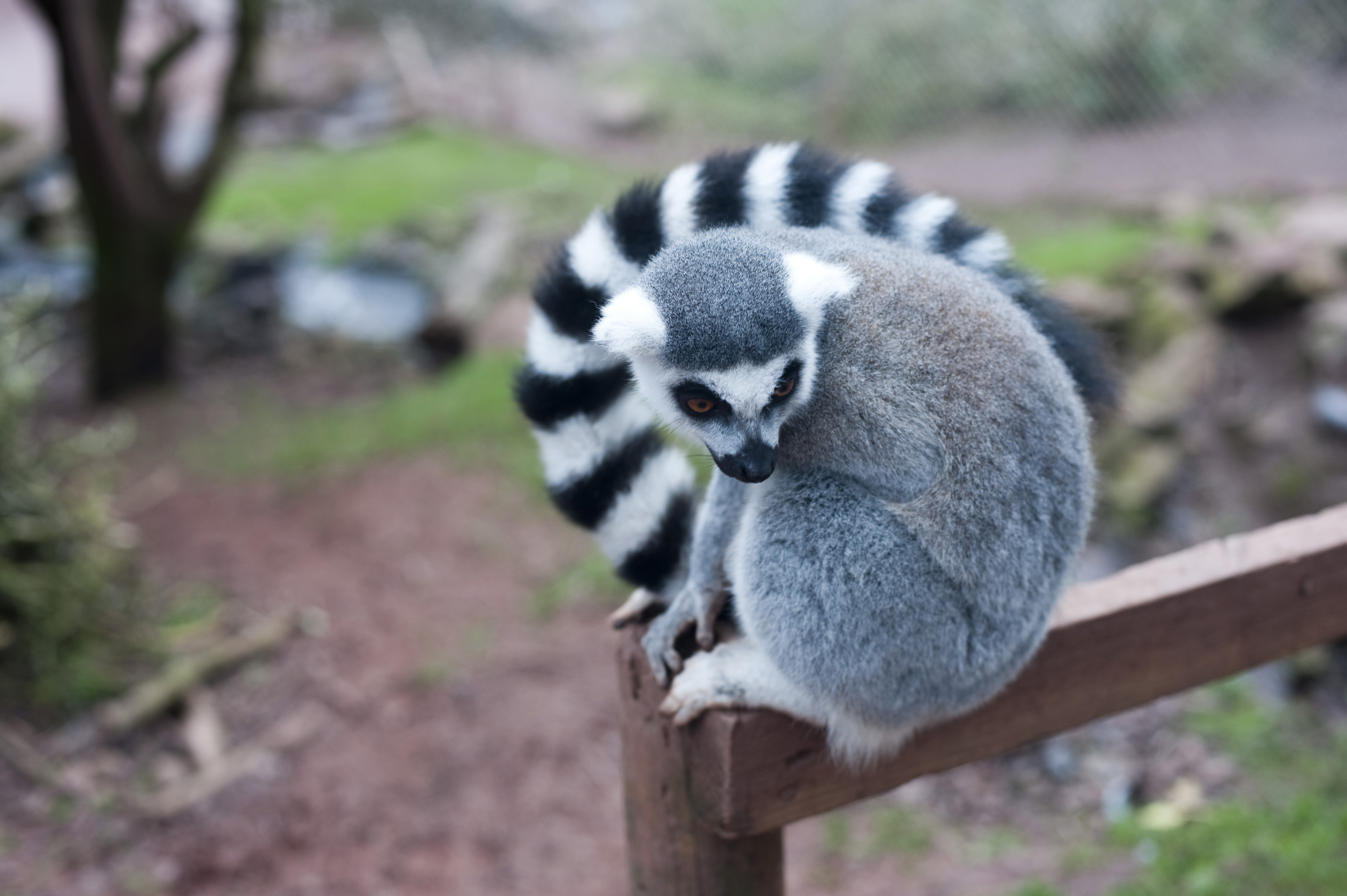 Res: 3200x2129, Ring-tailed lemur perched on a fence post with its distinctive barred or  striped black