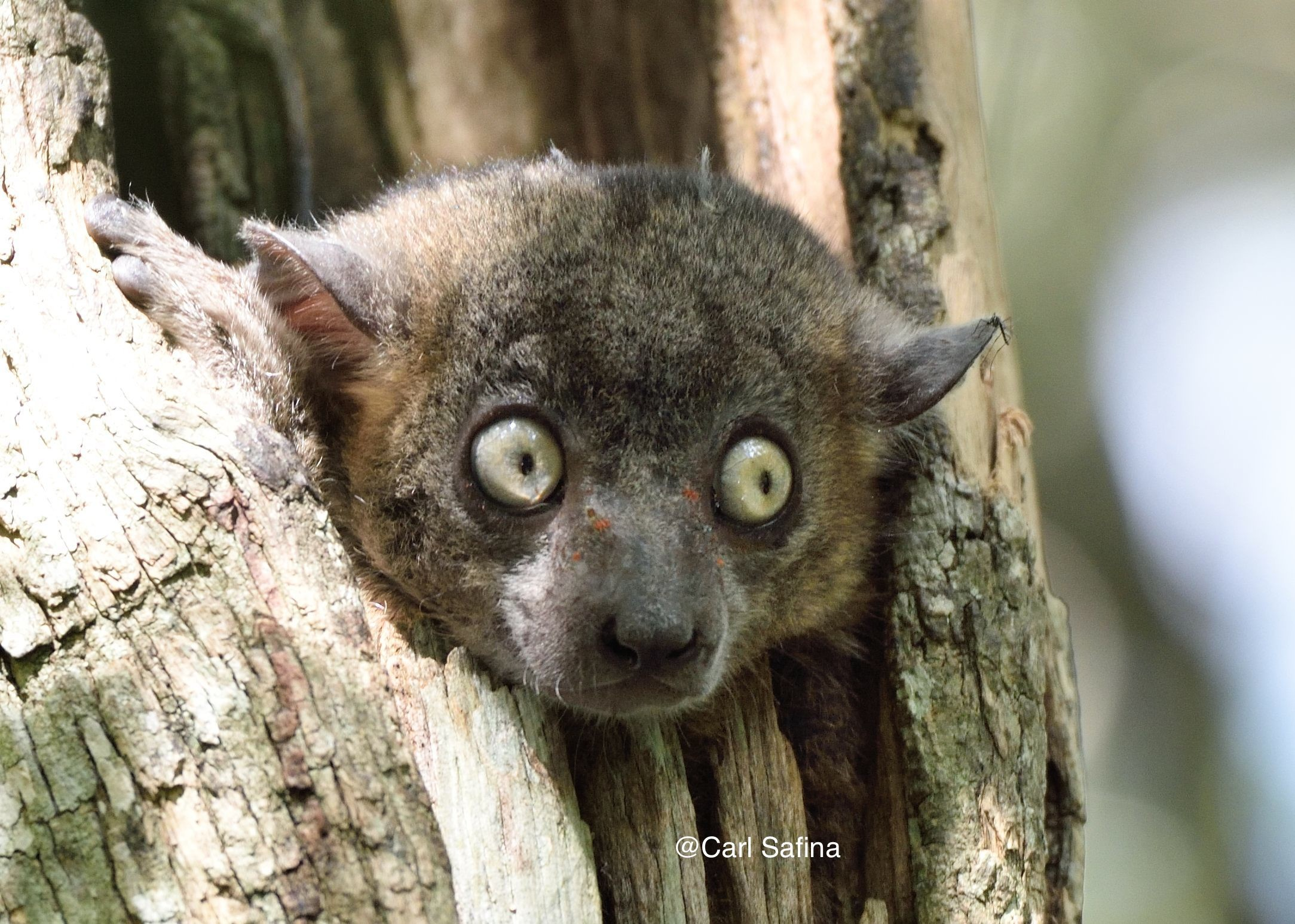 """Res: 2167x1547, One of the two-dozen """"Sportive"""" lemur species. Photo by Carl Safina"""
