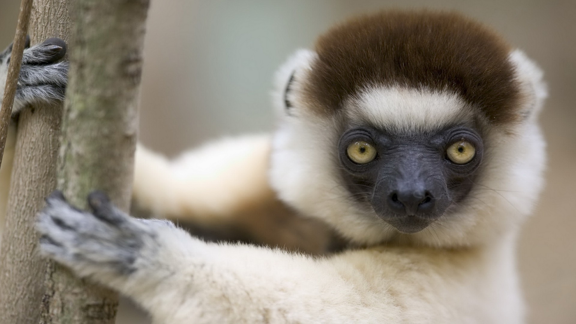 Res: 1920x1080, Get the latest lemur, muzzle, white news, pictures and videos and learn all  about lemur, muzzle, white from wallpapers4u.org, your wallpaper news  source.