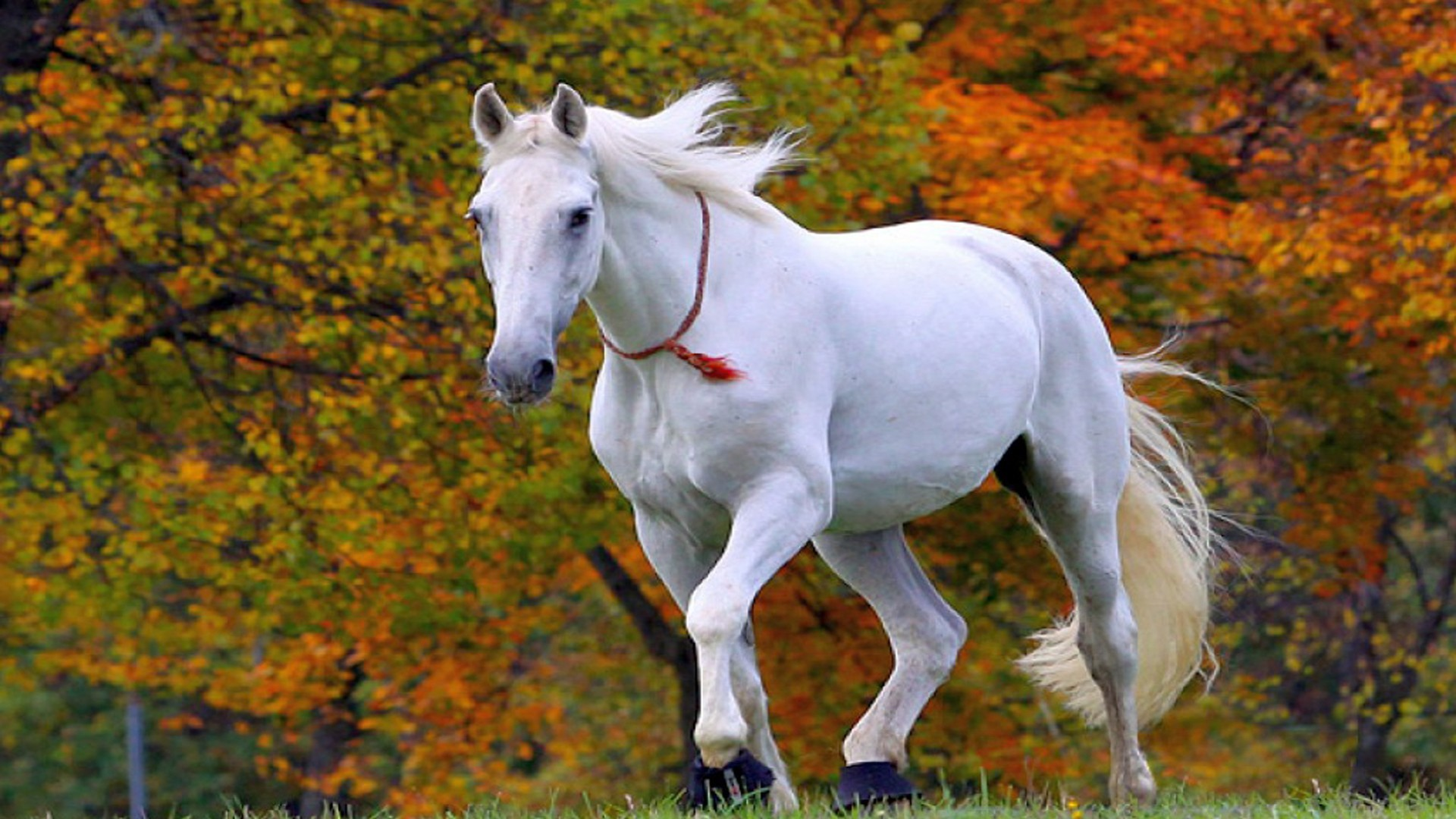 Res: 1920x1080, Beautiful White Horse Wallpaper Hd