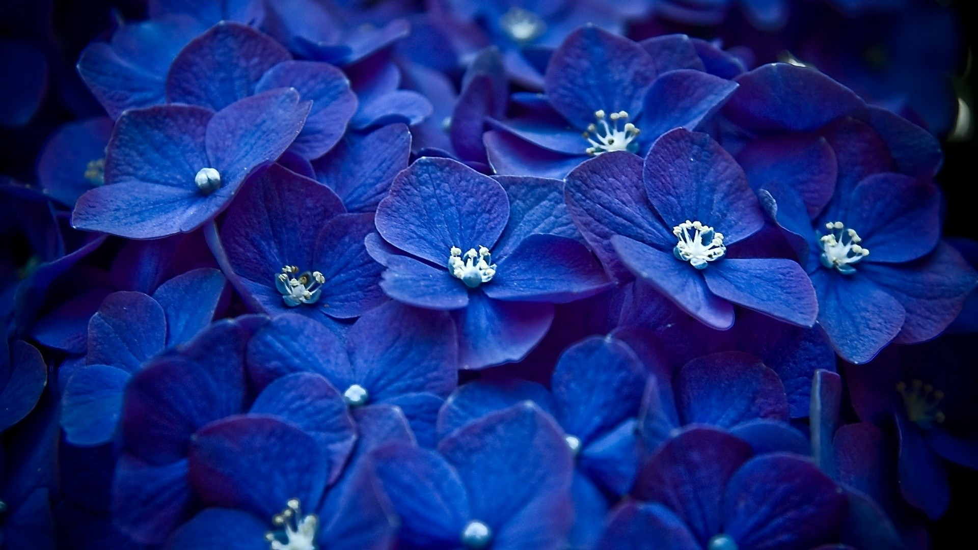 Res: 1920x1080, Blue Flower Wallpapers Phone