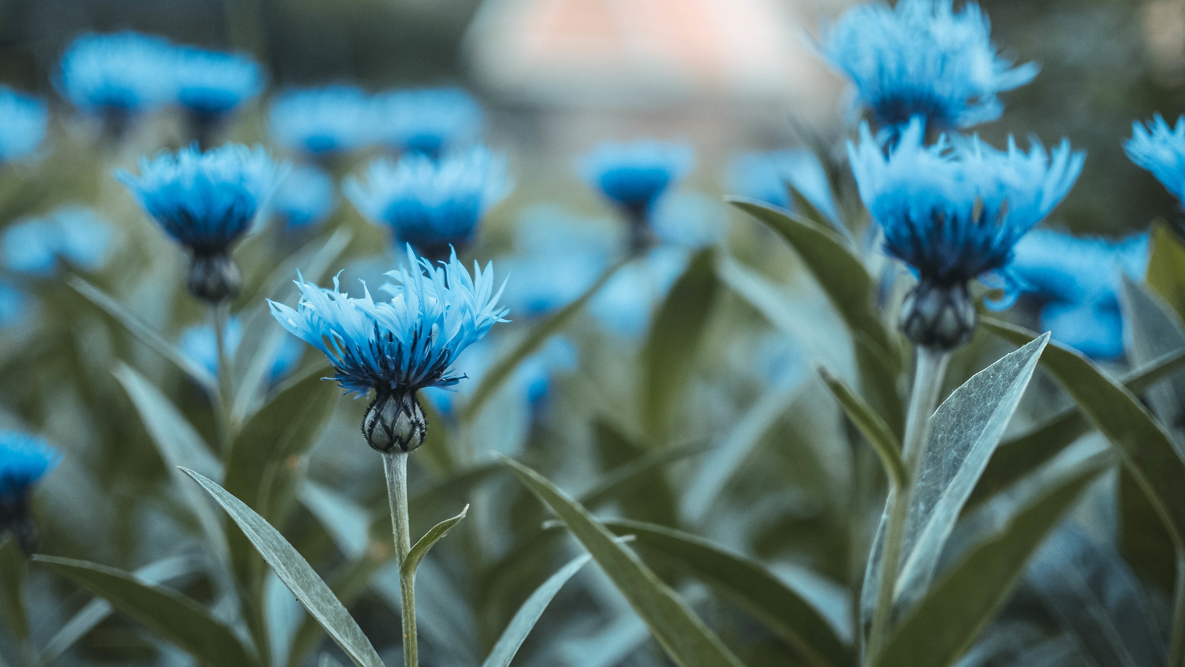 Res: 3840x2160, Flowers / Blue flowers Wallpaper
