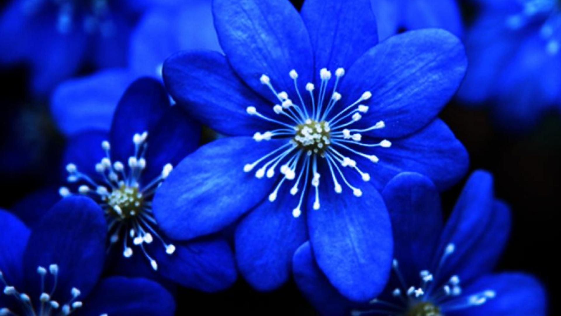 Res: 1920x1080, blue flowers images - Google Search