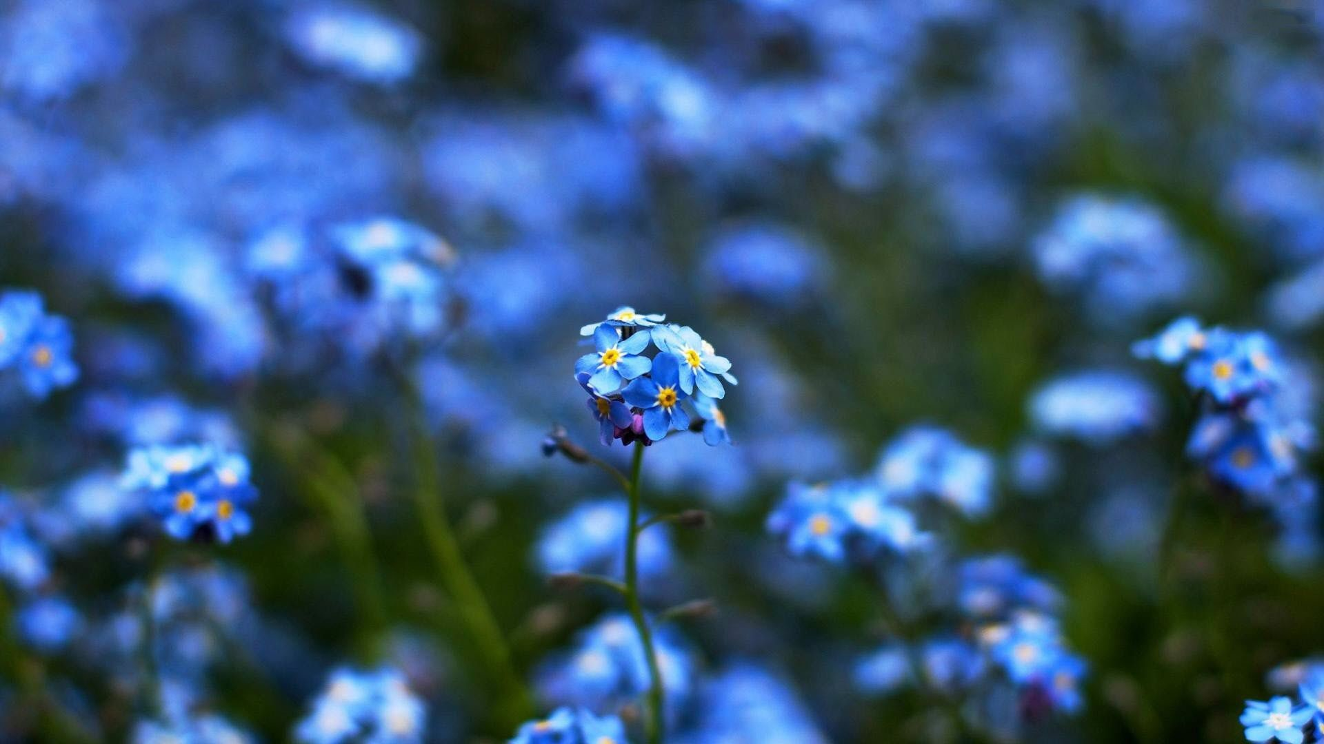 Res: 1920x1080, Blue Flowers Wallpaper | HD Flowers Wallpaper Free Download ...