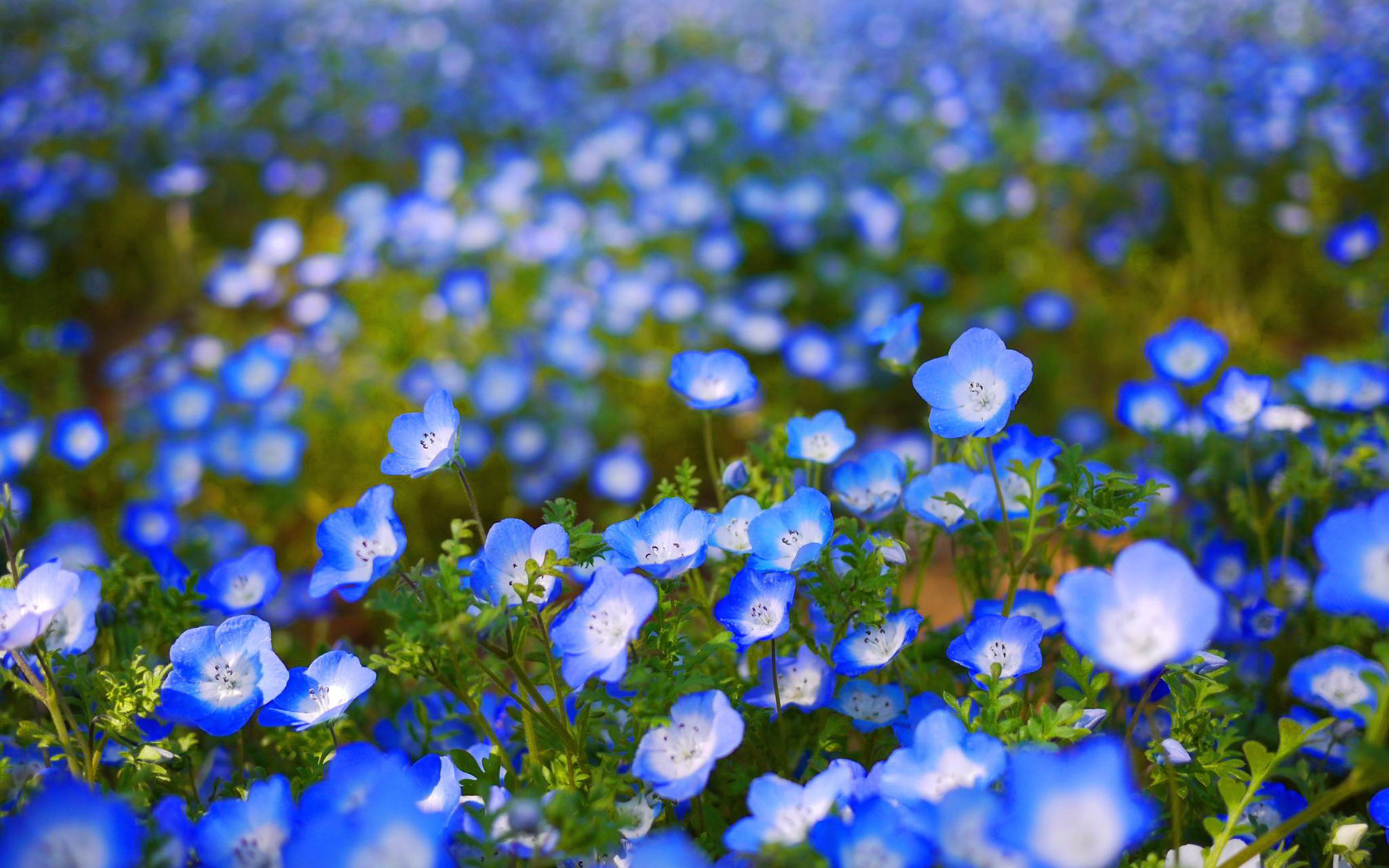 Res: 1920x1200, Blue Flowers Wallpaper
