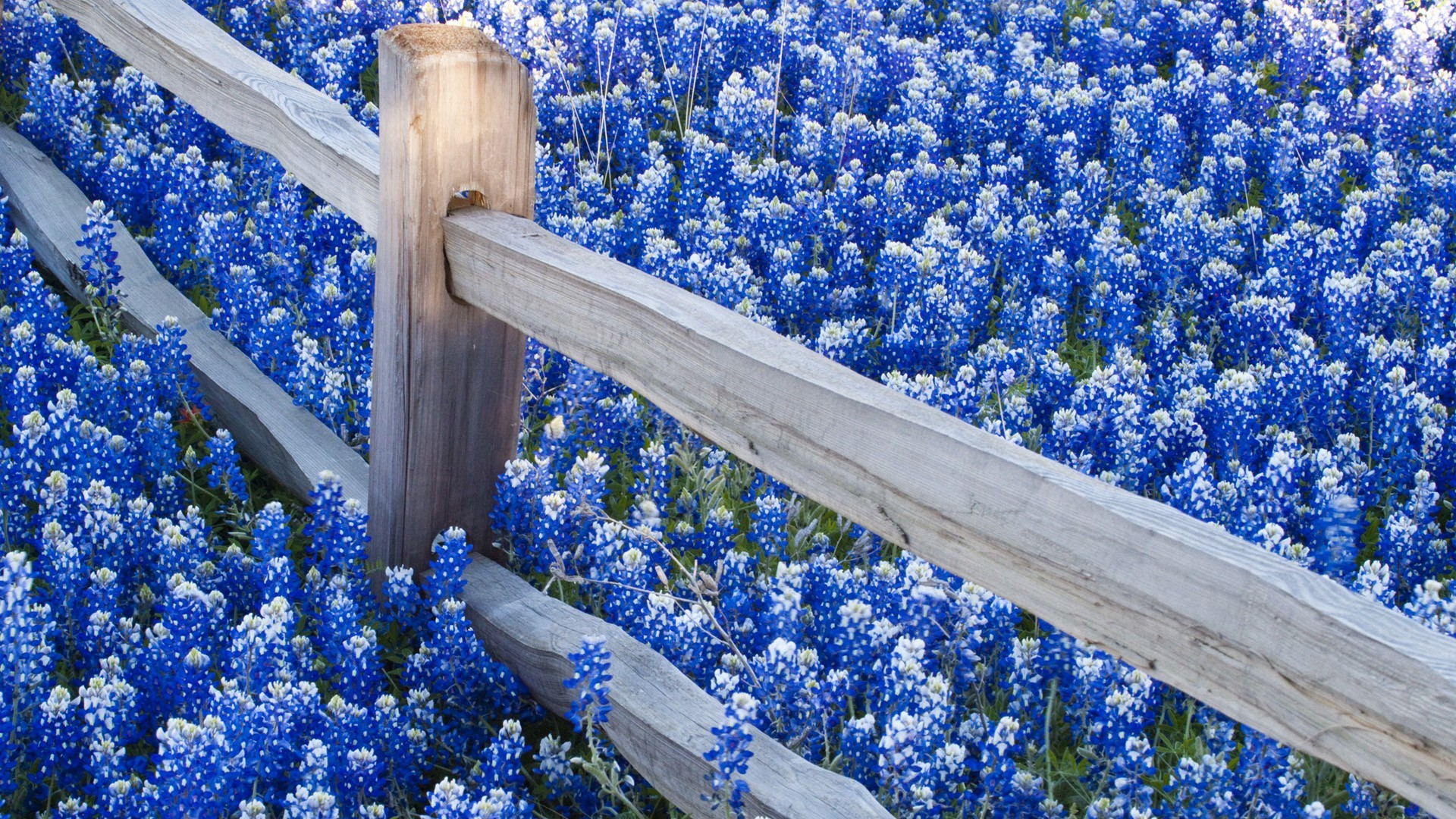 Res: 1920x1080, Blue Flowers Desktop Wallpaper 13 Hd Wallpaper