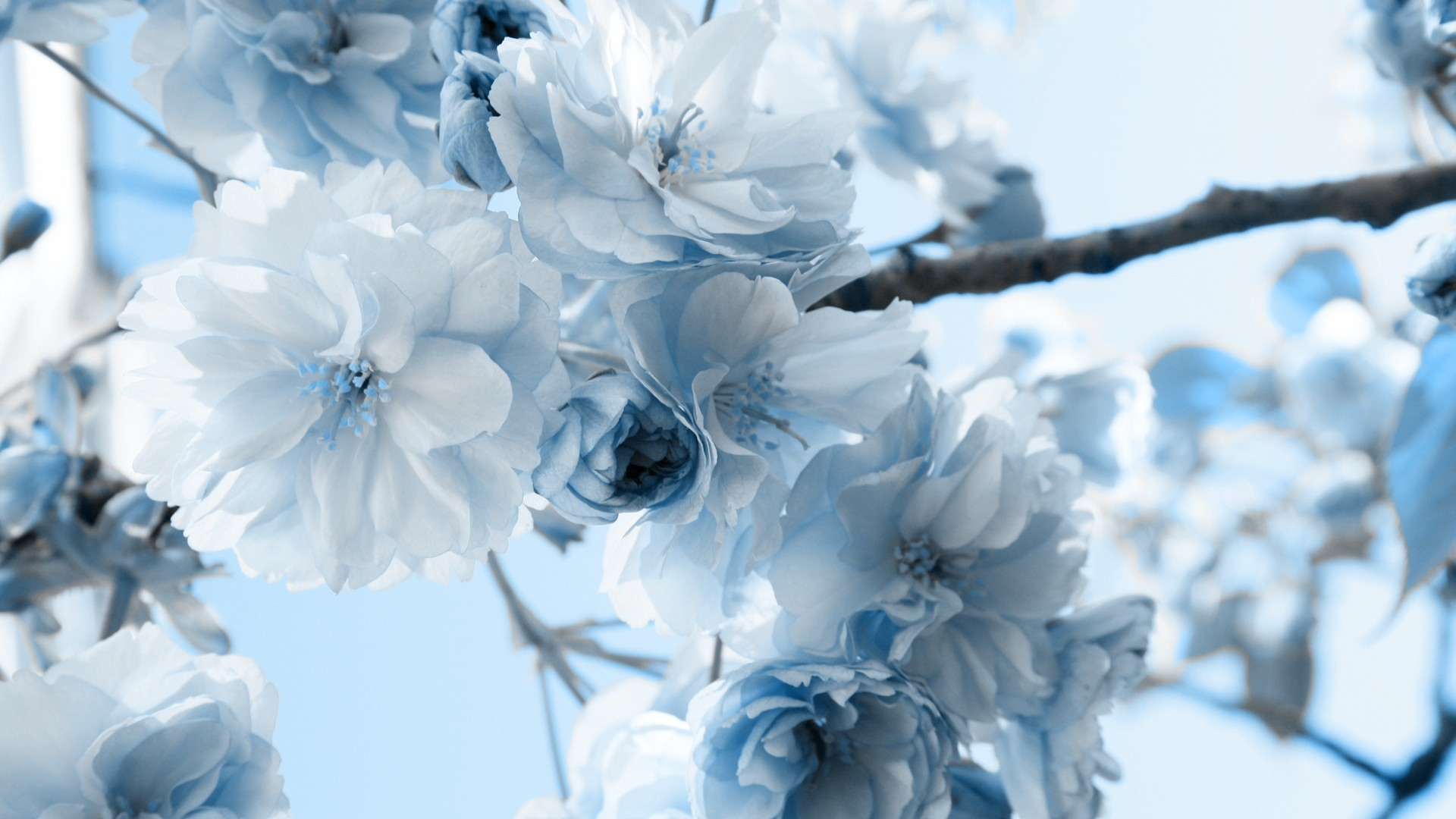 Res: 1920x1080, White Wallpaper With Blue Flowers 9 Cool Hd