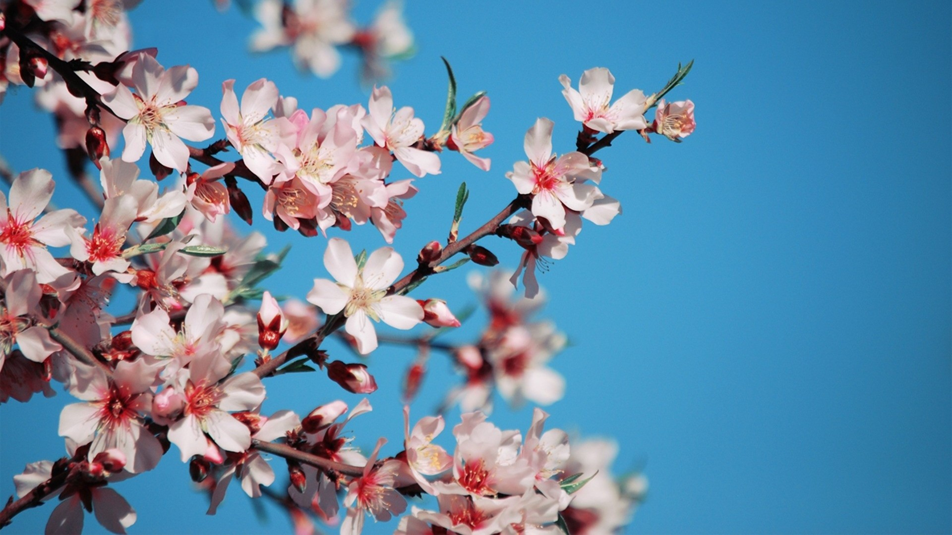Res: 1920x1080, Pink And Blue Flowers Full HD Image Download, Thi Gesell