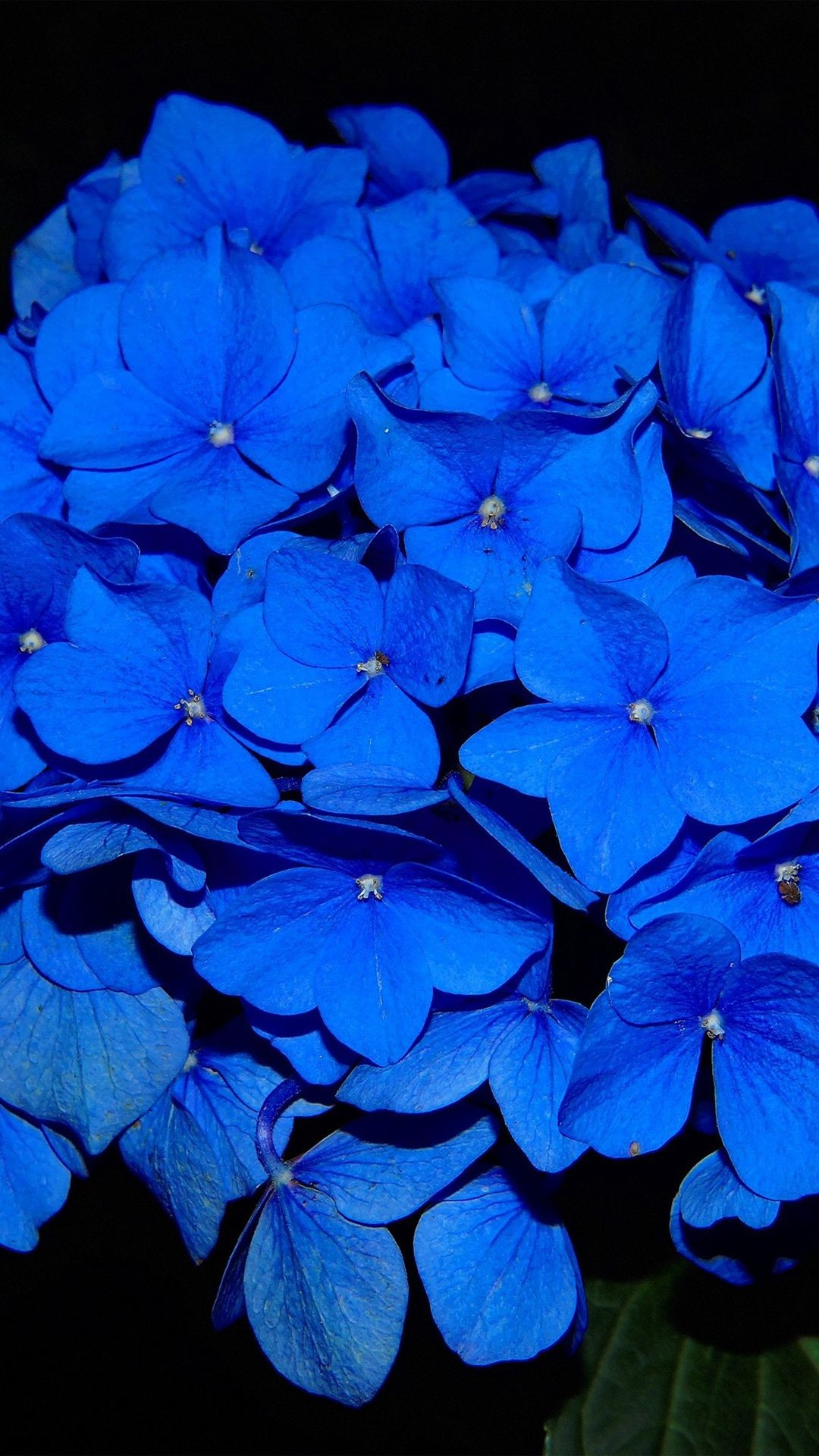 Res: 1080x1920, Hydrangea Blossom Flower Blue Dark Nature #iPhone #6 #plus #wallpaper