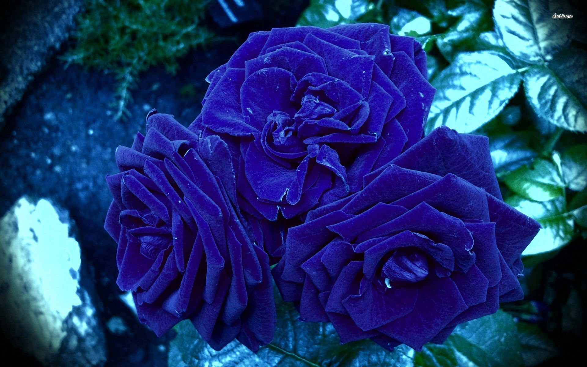 Res: 1920x1200, BLUE ROSE WALLPAPER