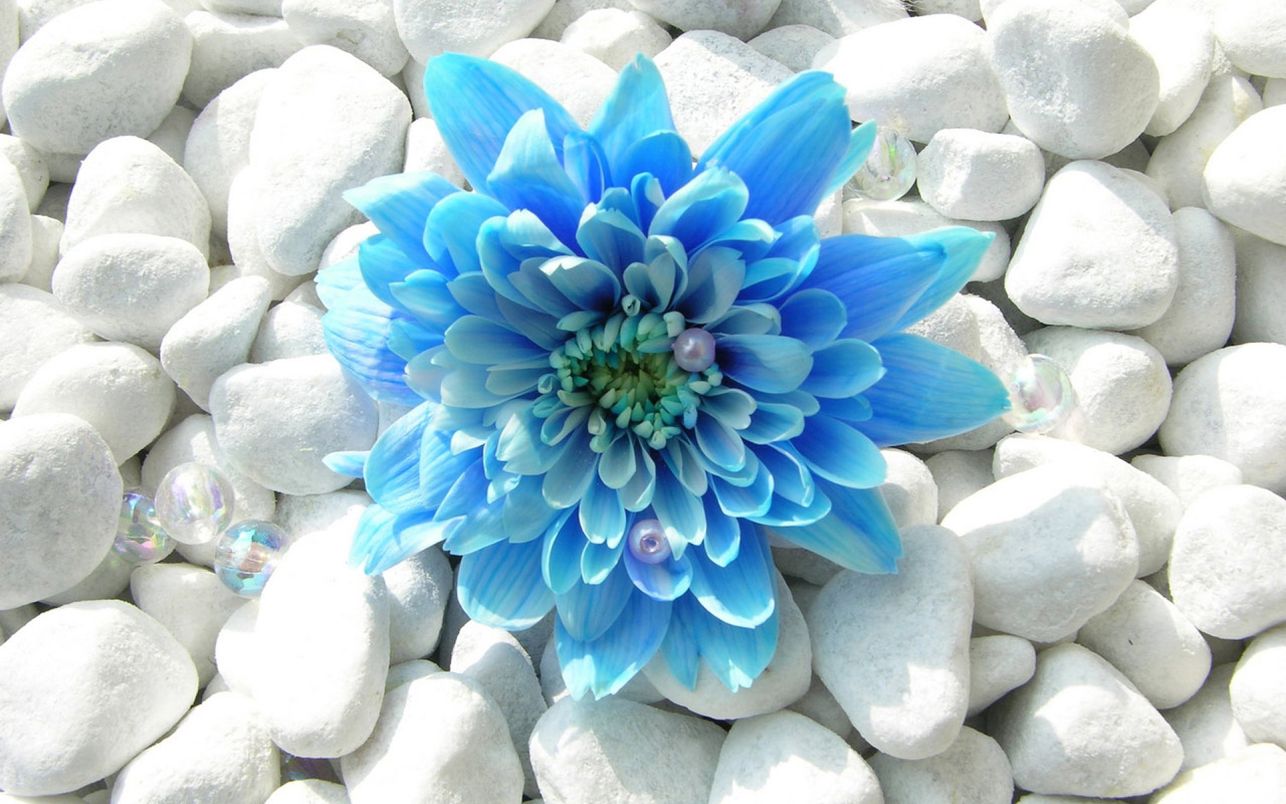 Res: 2560x1600, Blue Flower Wallpaper Background - Ndemok.com