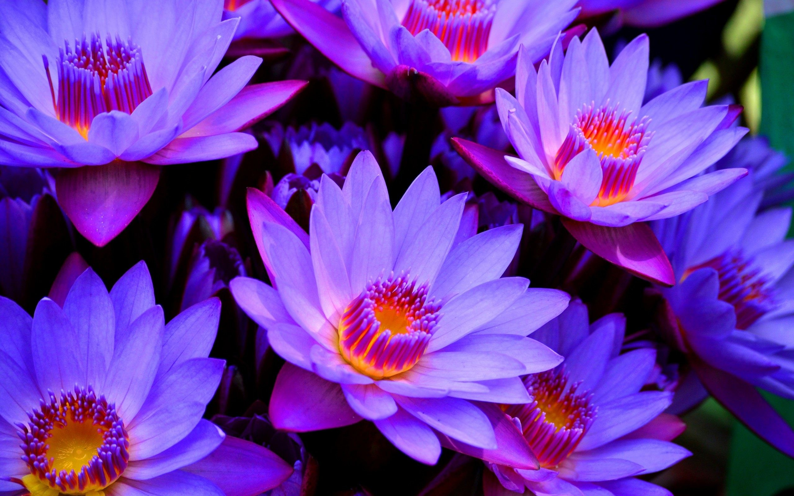 Res: 2560x1600, Lotus Flower Wallpapers Wide