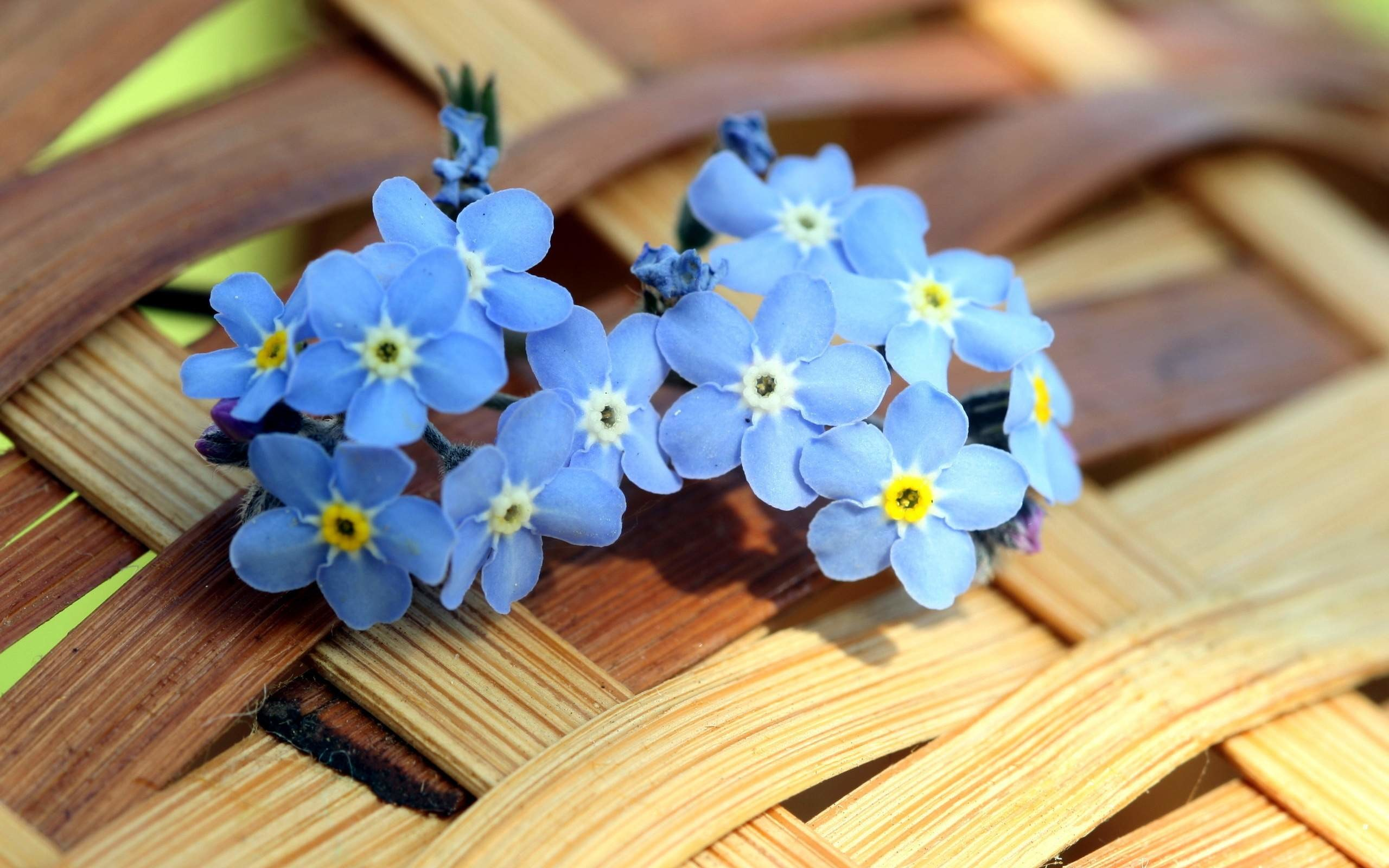 Res: 2560x1600, myosotis blue flowers wallpaper