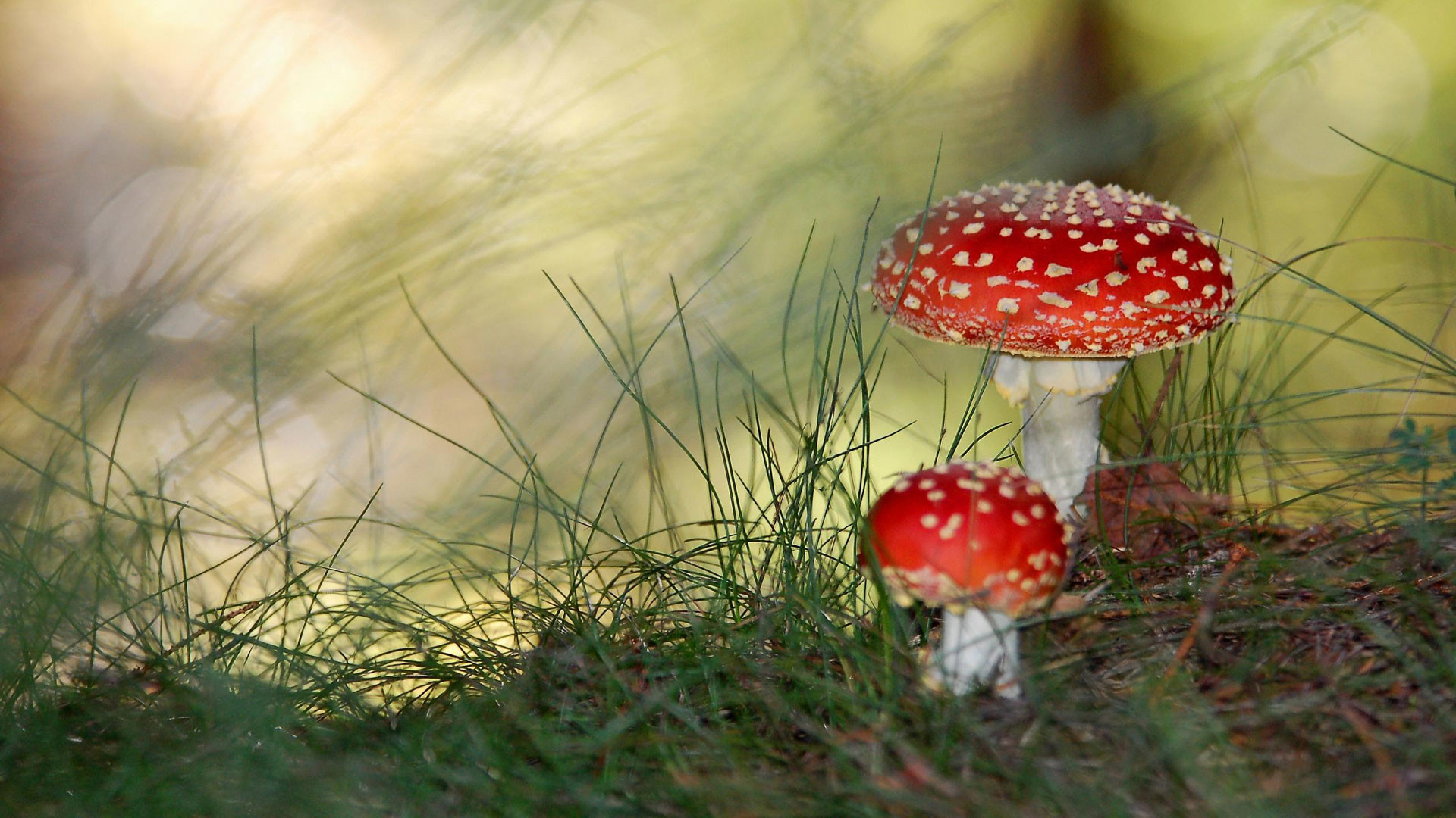 Res: 1920x1080, Mushrooms Wallpapers Magic Mushrooms Cupboards Buttons Nature
