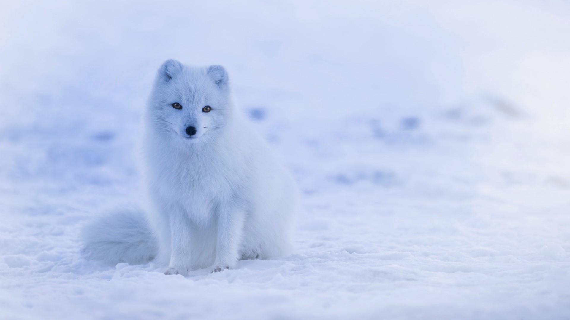 Res: 1920x1080, Arctic Fox Wallpaper | Wallpaper Studio 10 | Tens of thousands HD and  UltraHD wallpapers for Android, Windows and Xbox