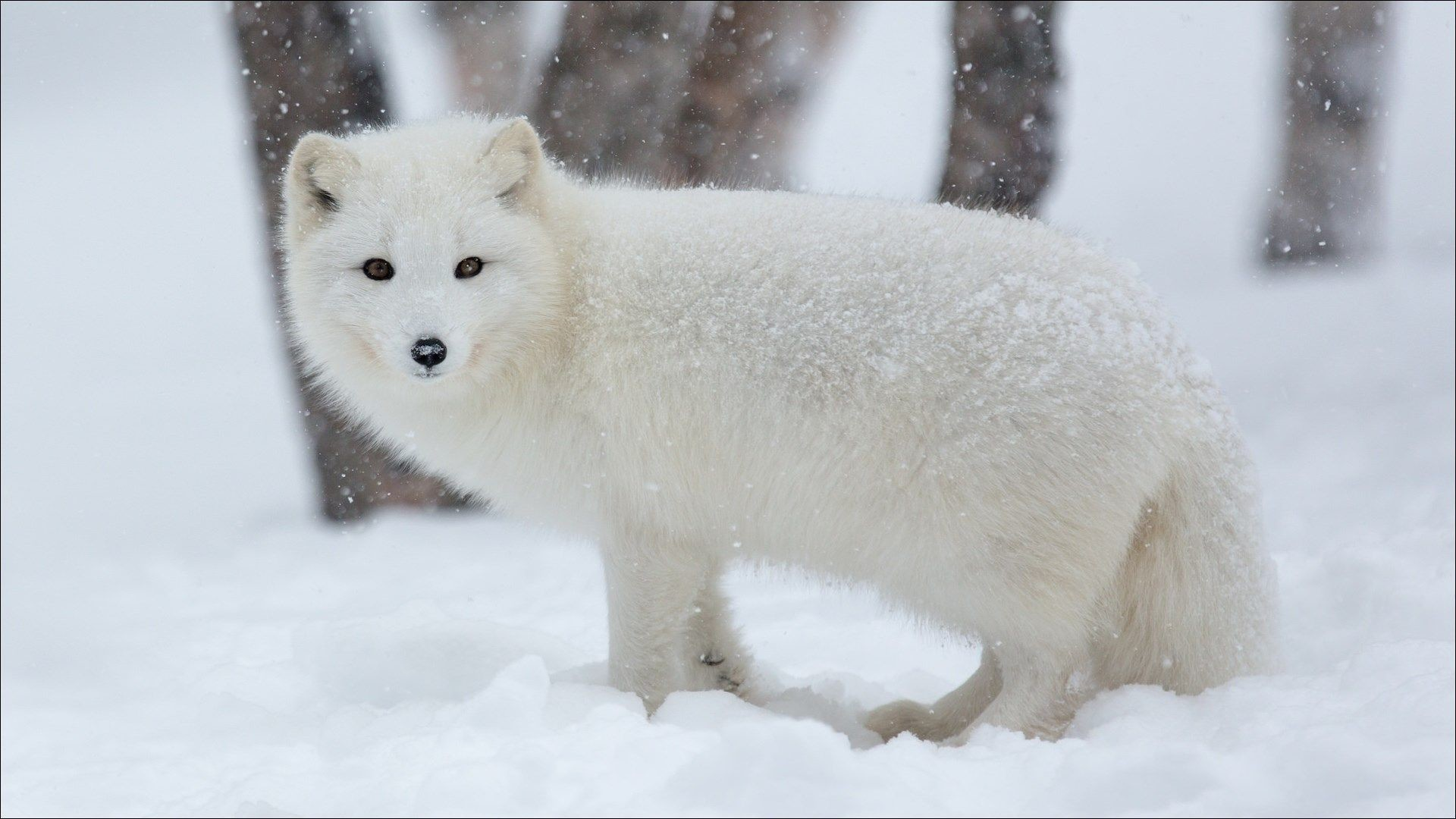 Res: 1920x1080, px arctic fox wallpaper pack 1080p hd by Zeandre Thomas