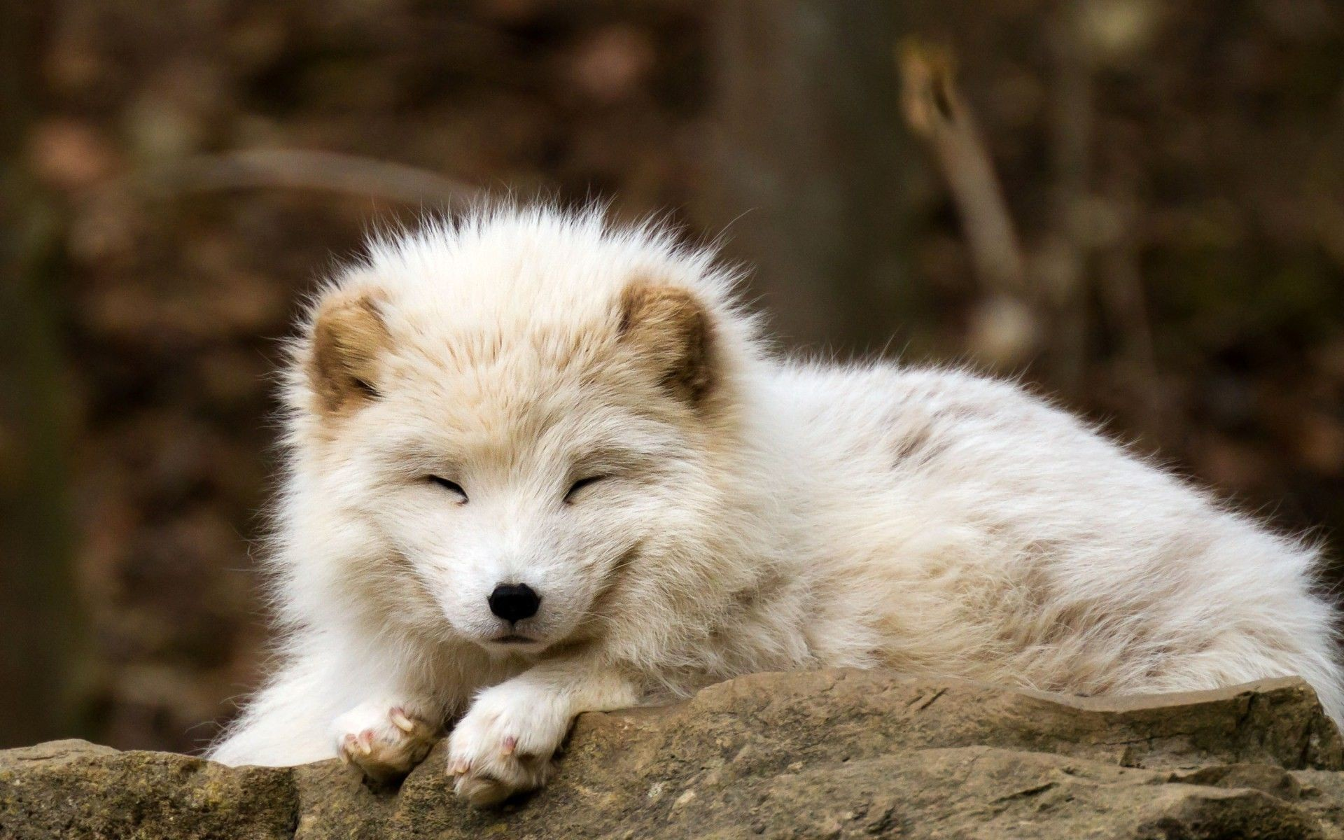 Res: 1920x1200, nature, Animals, Baby Animals, Fox, Arctic Fox Wallpapers HD .