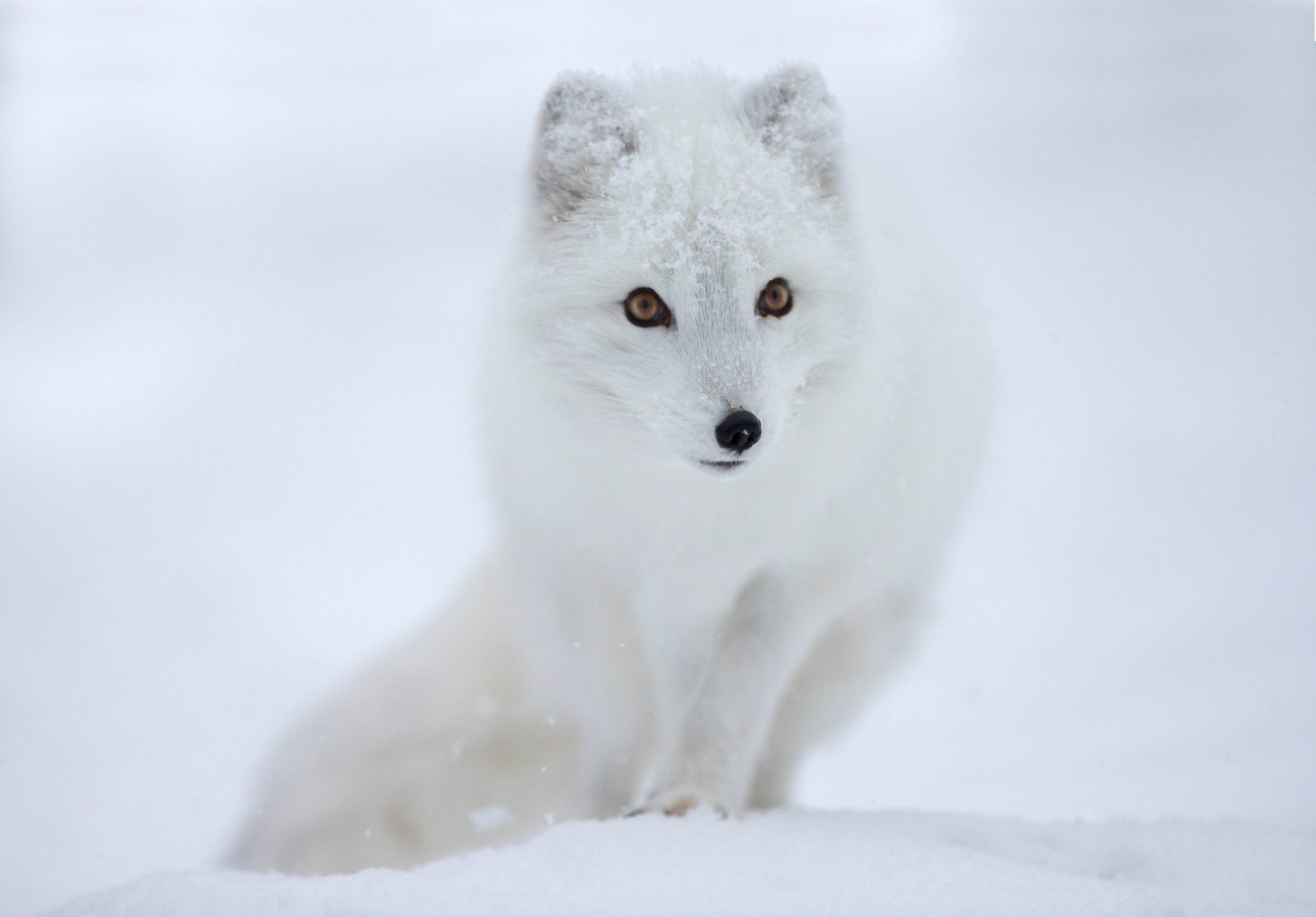 Res: 2048x1427, Snow, eyes, Fox, Arctic Fox wallpapers and images - wallpapers .