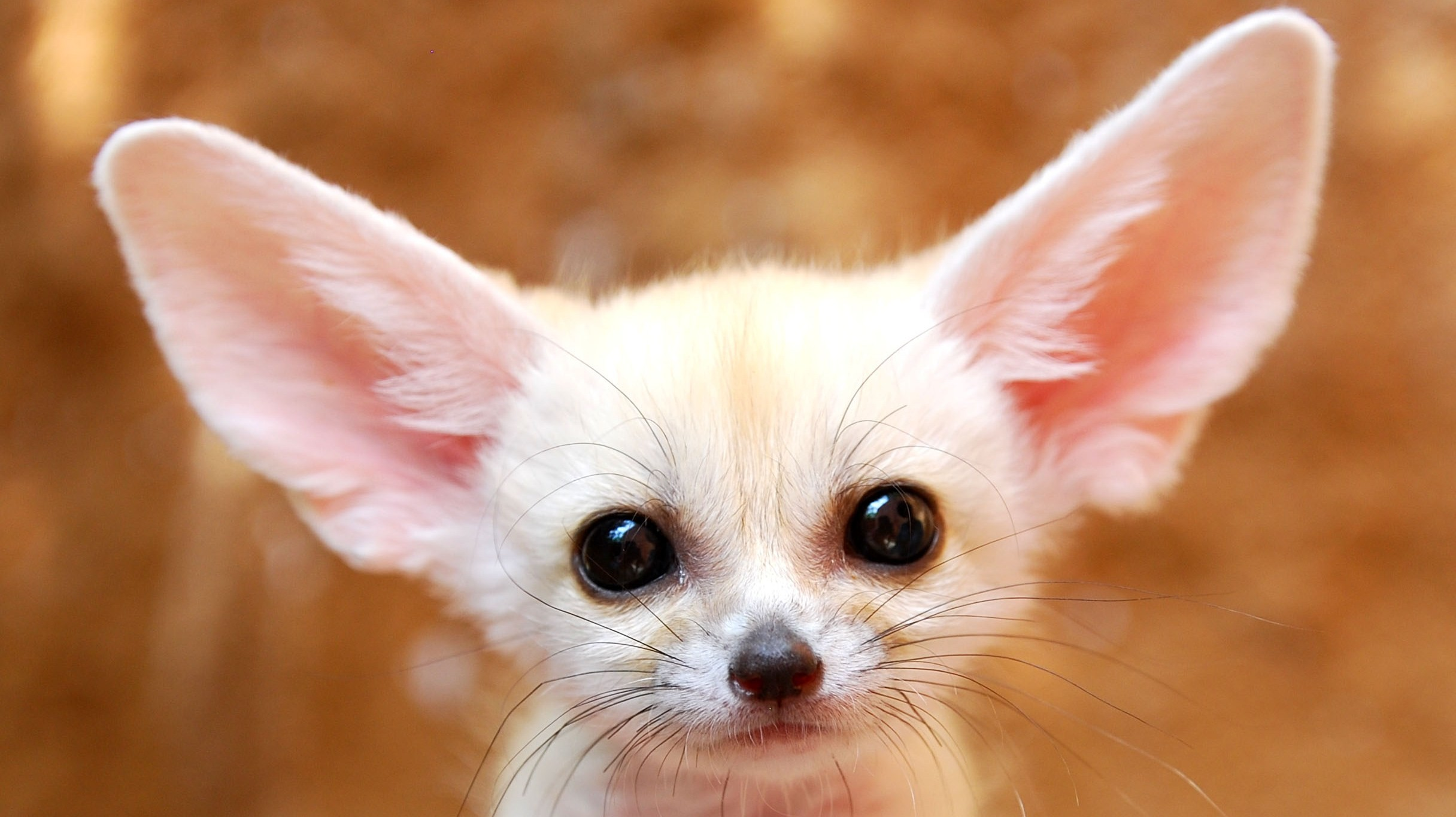 Res: 2432x1366, White Baby Fennec Fox Wallpaper