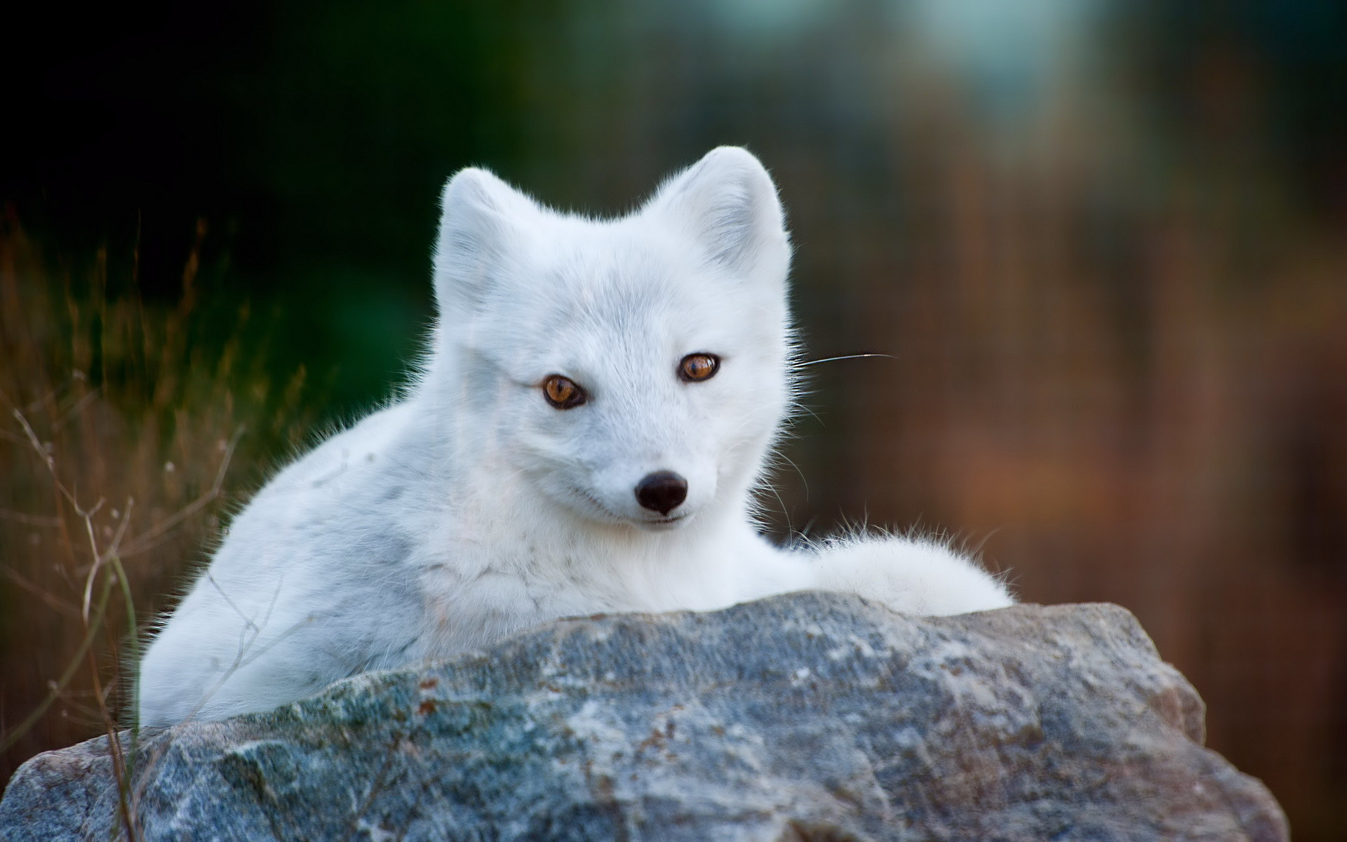 Res: 1920x1200, Arctic Fox wallpapers for iphone