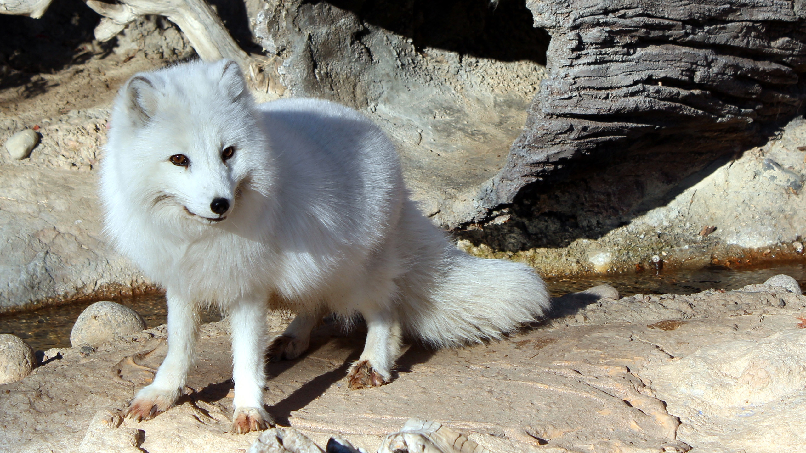 Res: 2560x1440, Download Free Arctic Fox Background.