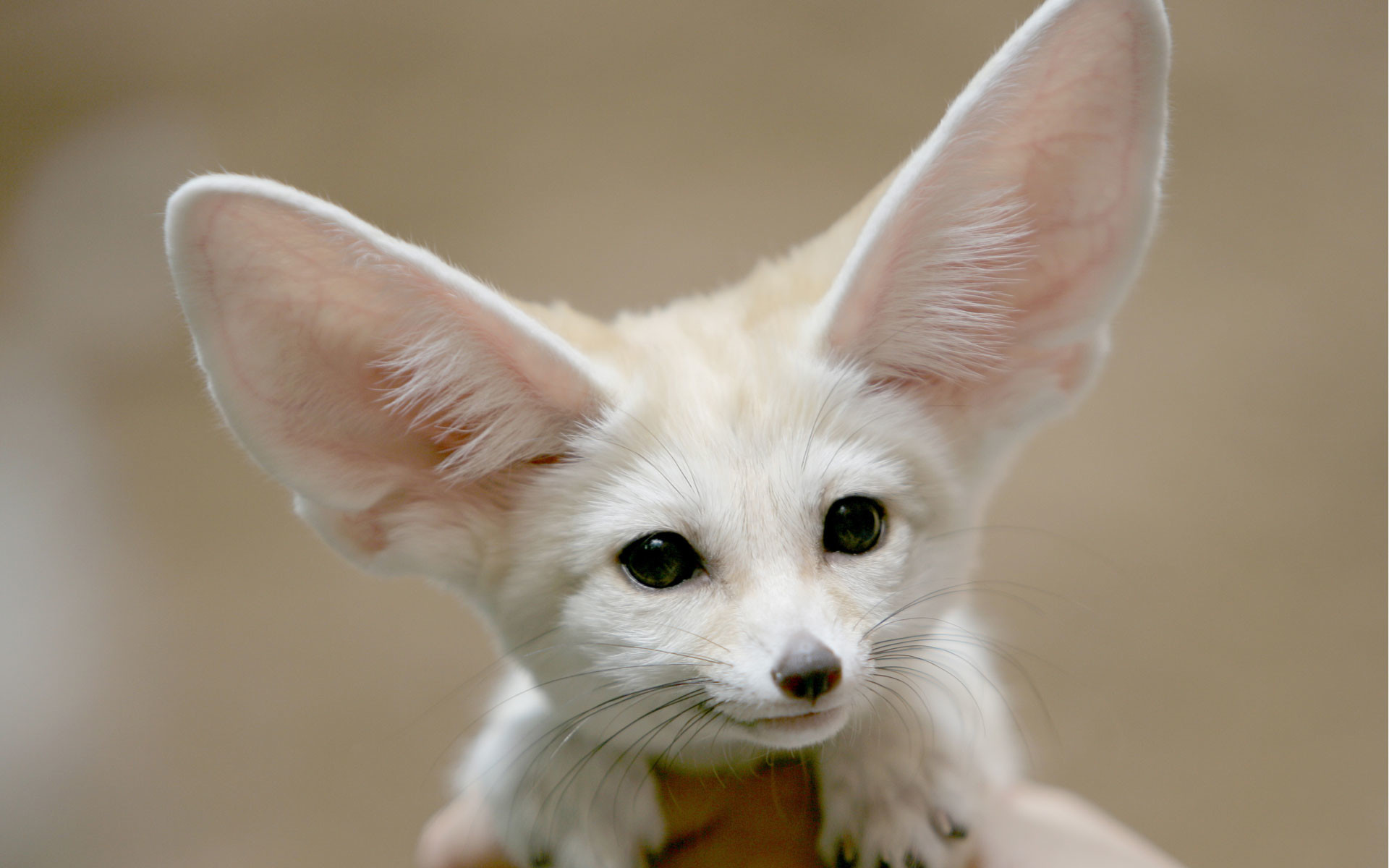 Res: 1920x1200, baby fennec fox pictures download