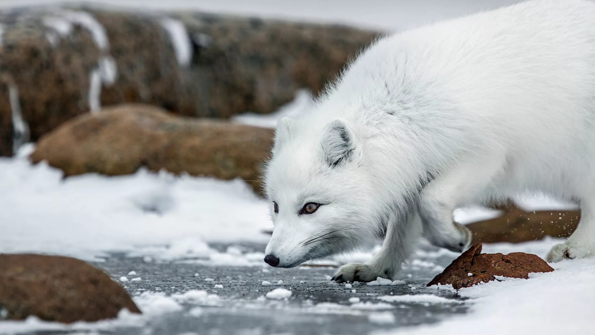 Res: 1920x1080, ... Arctic Fox Wallpapers and Backgrounds ...