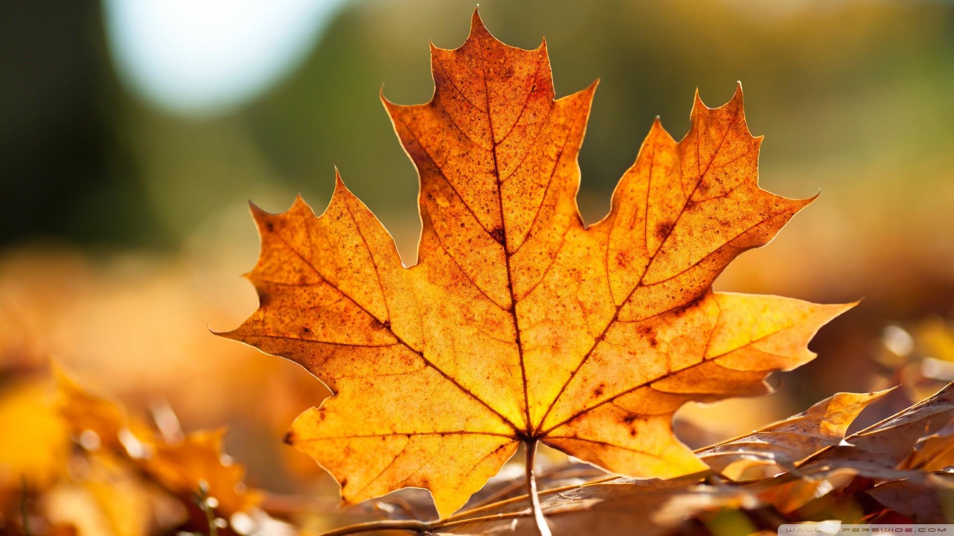 Res: 1920x1080, Autumn Leaf Wallpaper  Autumn Leaf