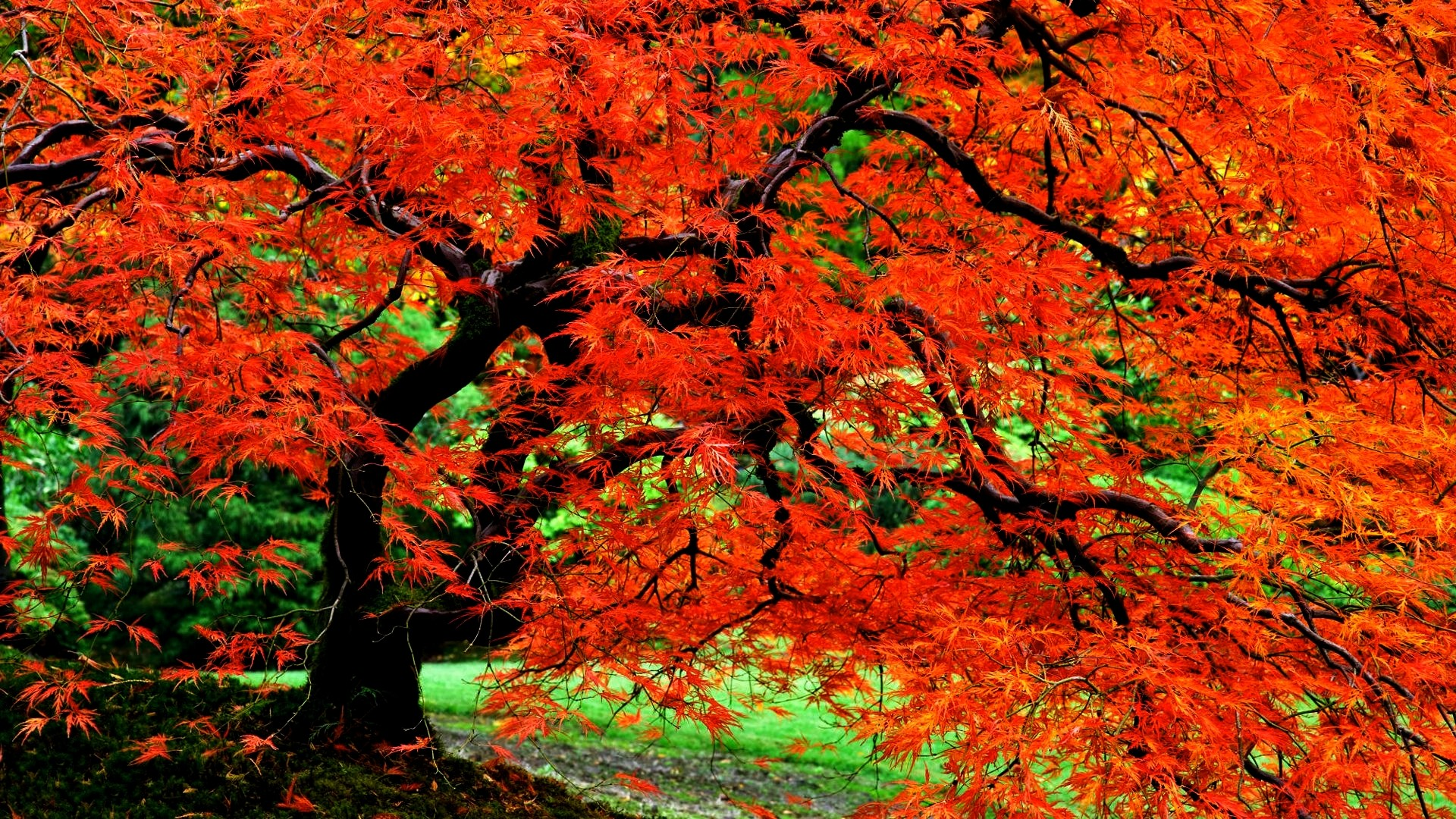Res: 1920x1080, Earth - Tree Nature Fall Foliage Red Close-Up Leaf Garden Japanese Wallpaper
