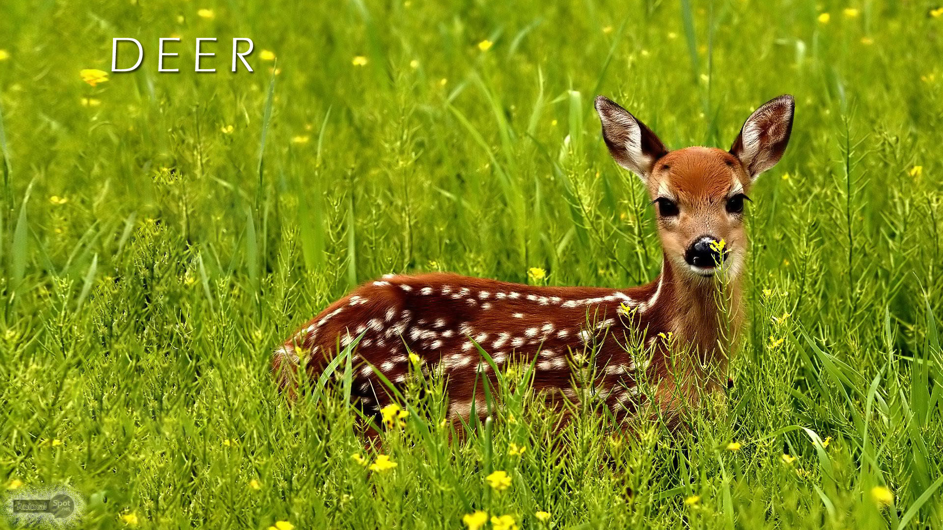 Res: 1920x1080, Deer Wallpapers