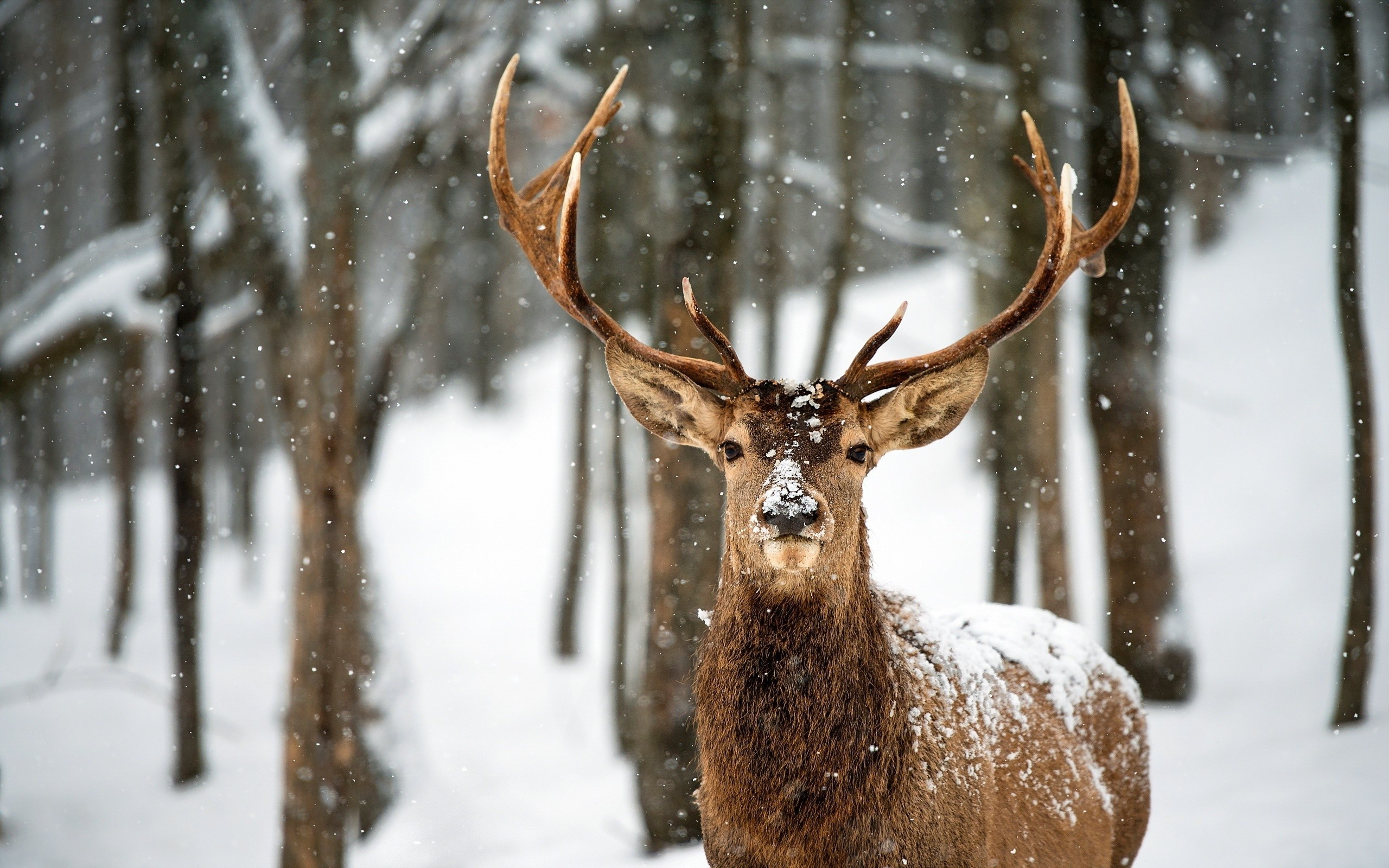 Res: 2560x1600, Deer in Snow Wallpaper - WallpaperSafari