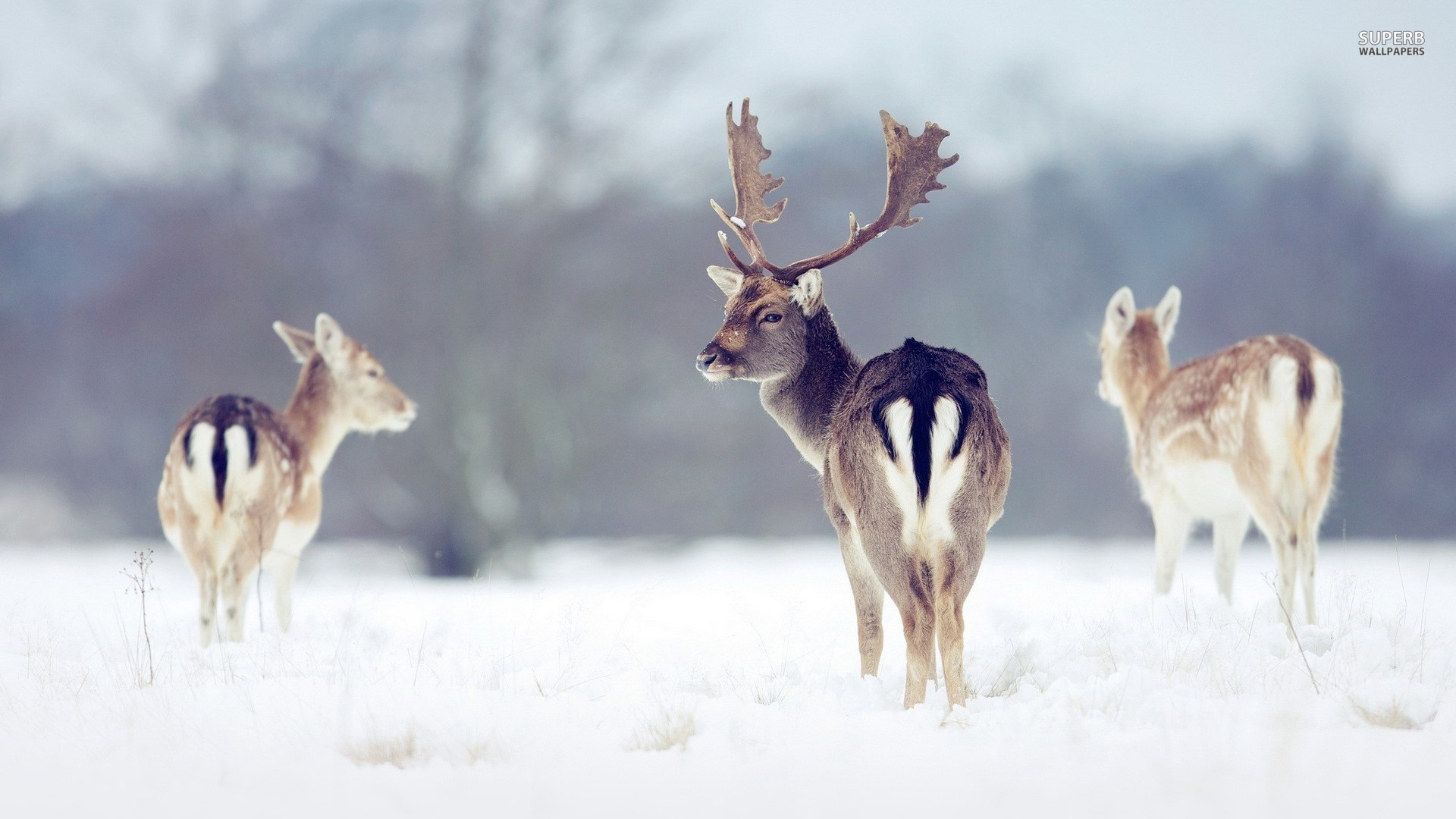 Res: 1920x1080, 30 Deer in Snow Image, Deer in Snow Wallpapers - Lavrenti Hebbs