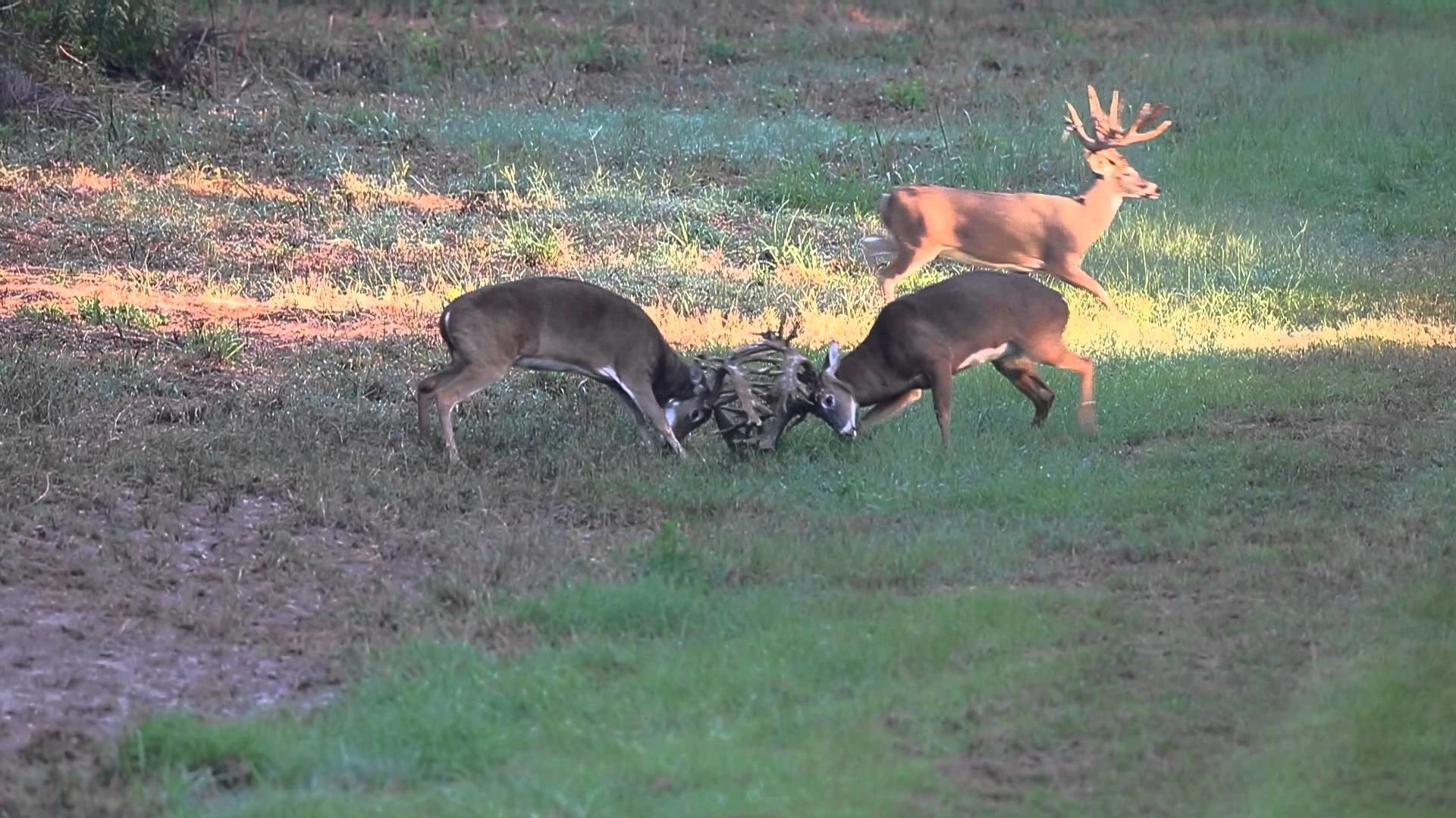 Res: 1920x1080, Shake, Rattle and Roll | bigwhitetail