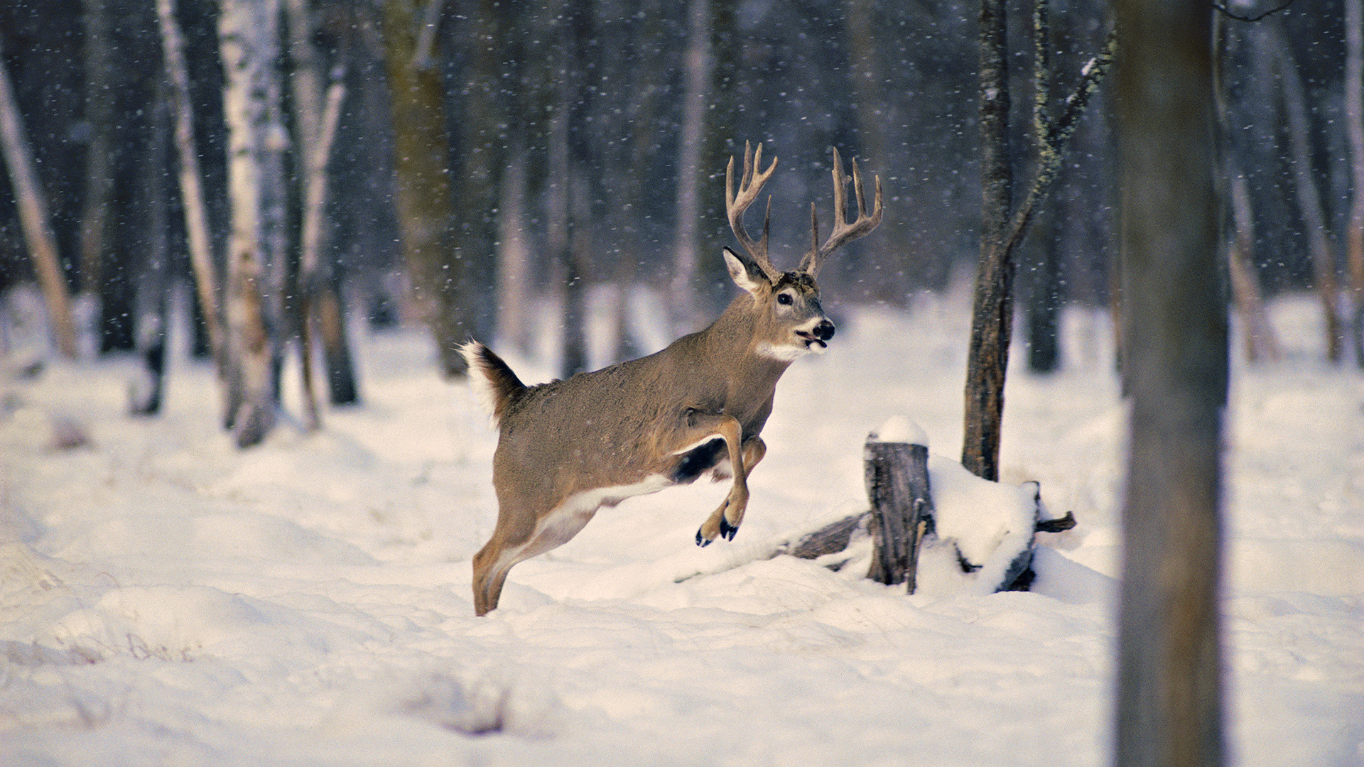 Res: 1920x1080, Pics In High Quality: Winter Deer Wallpaper Backgrounds by Kiana Haak,  03.26.18
