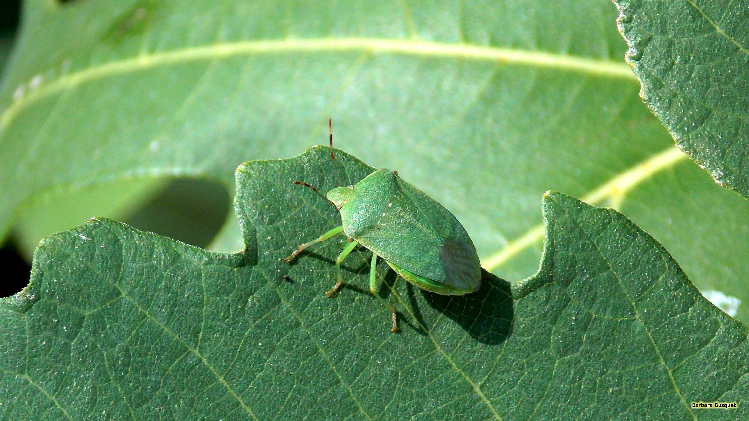 Res: 2560x1440, Green shield bug on a leaf