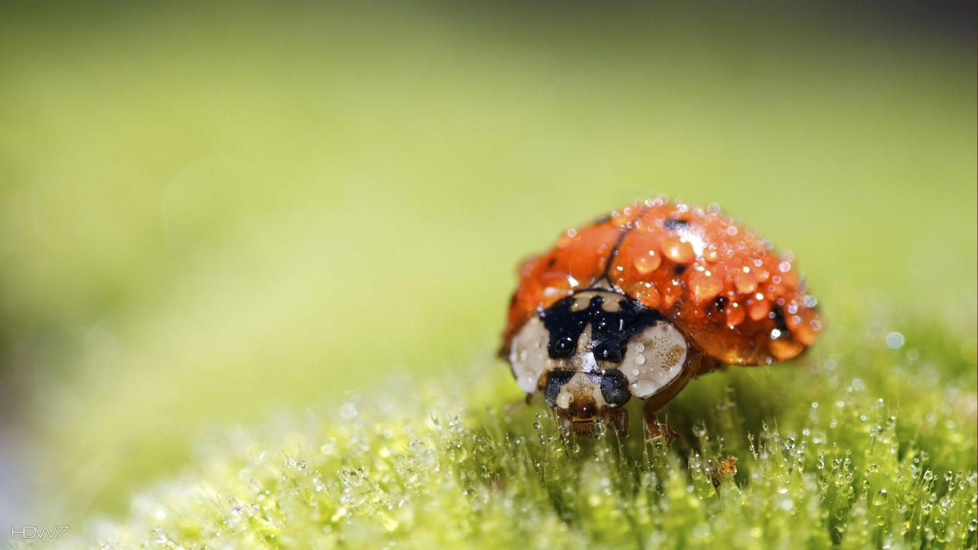 Res: 1920x1080, wet lady bug nature animal small cute