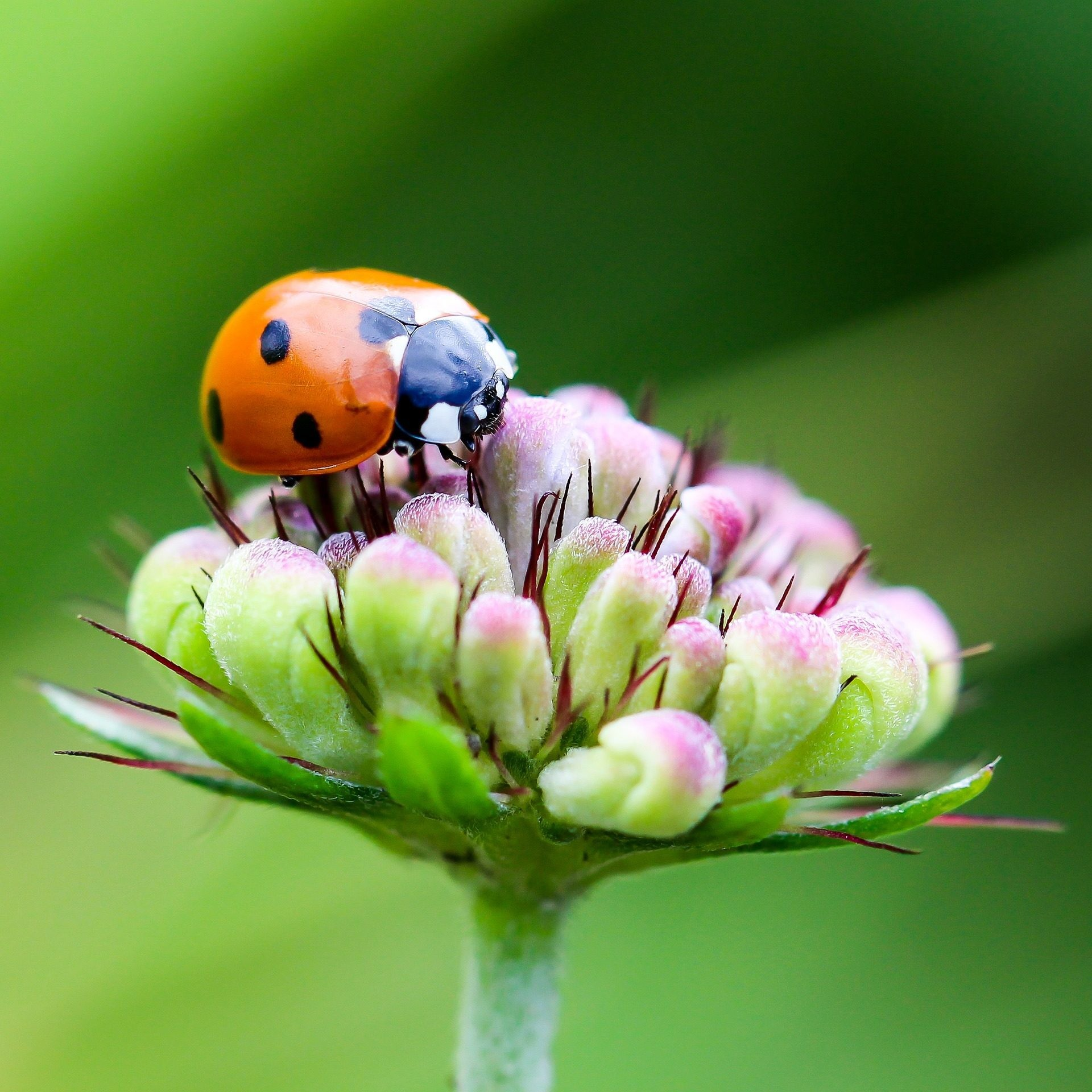 Res: 1920x1920, lovely closeup ladybug beetle insect wallpaper