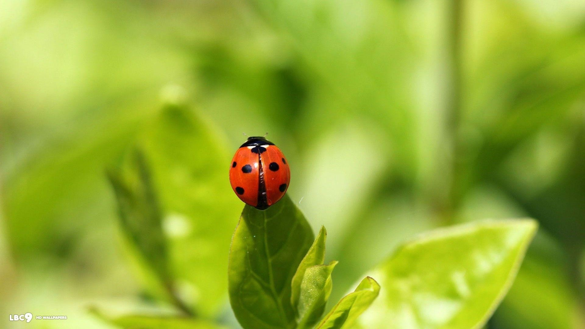 Res: 1920x1080, Lady Bug Wallpapers