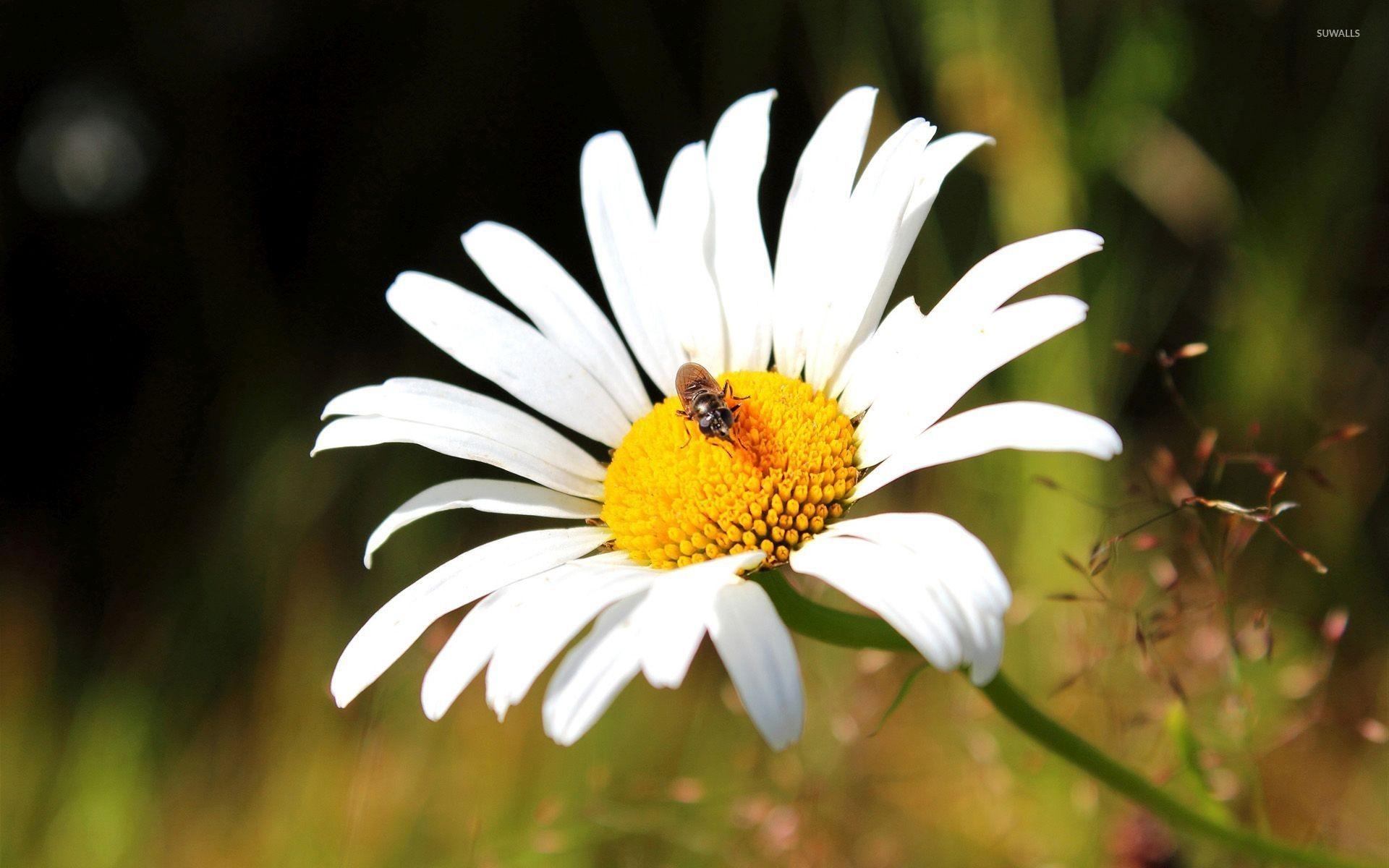 Res: 1920x1200, Bug on a white chrysanthemum wallpaper