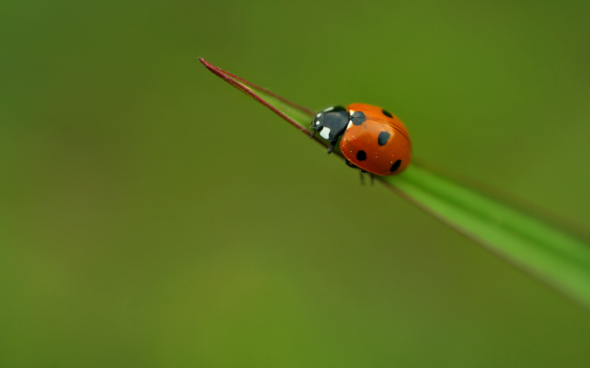 Res: 1920x1200, 10 Lovely HD Ladybug Wallpapers - HDWallSource.com