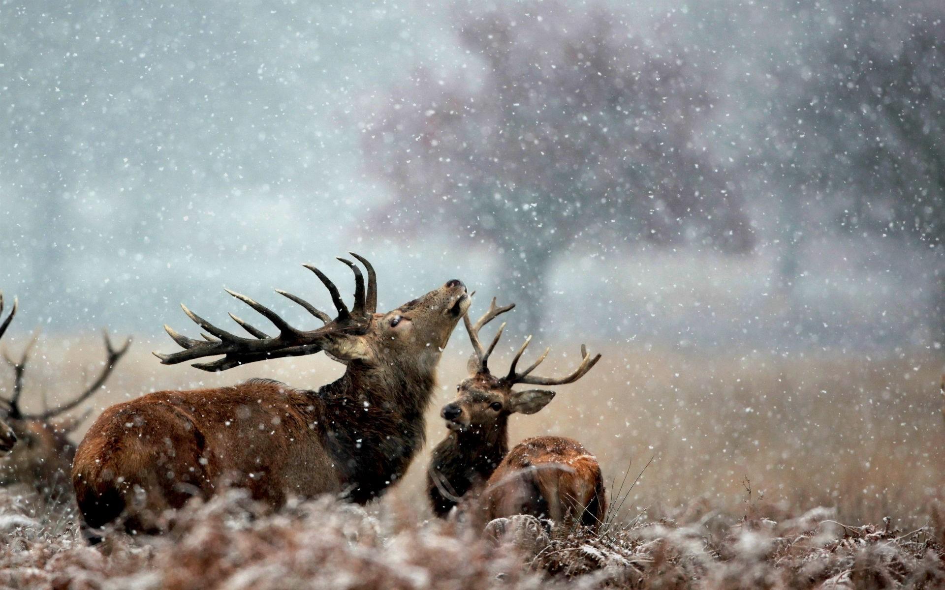 Res: 1920x1200, Amazing Deer Animal On Snowfall Wallpaper Desktop Images Background Photos  Download HD Windows Wallpaper Samsung Iphone Mac