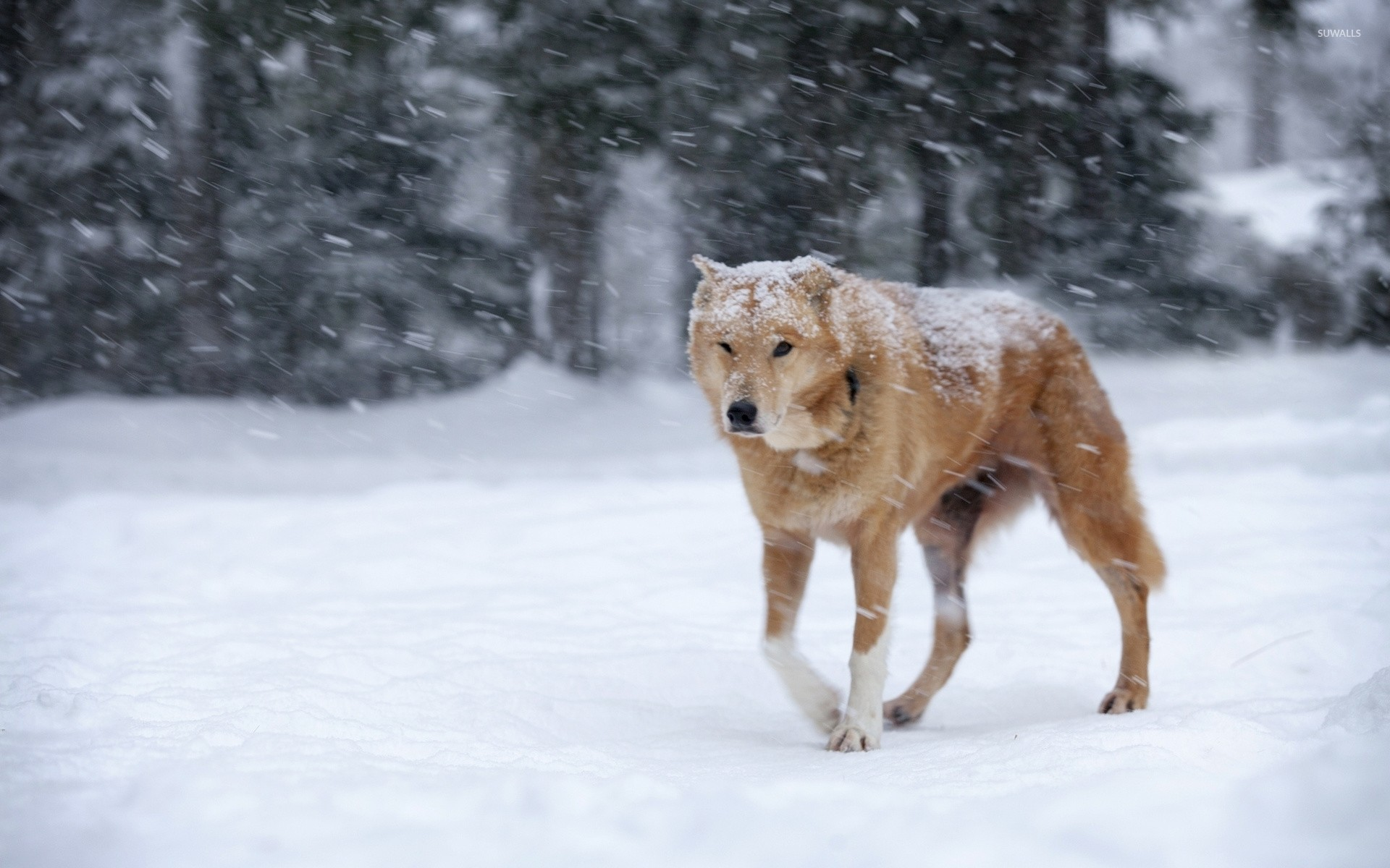 Res: 1920x1200, Dog in the heavy snowfall wallpaper