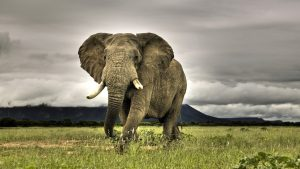 Elephant Desktop wallpapers