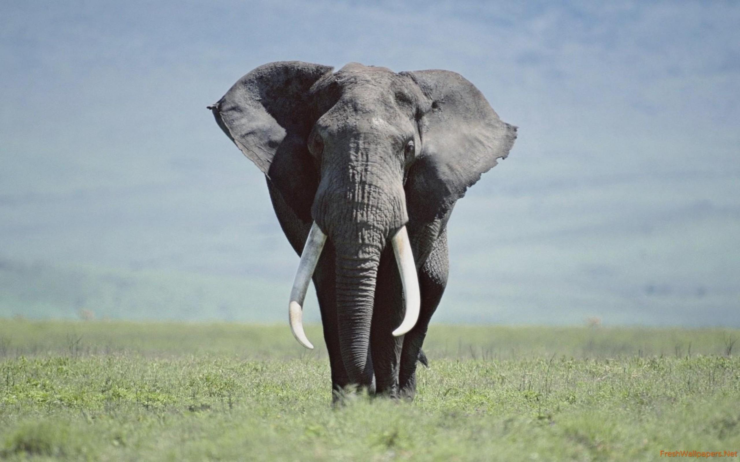 Res: 2560x1600, Elephant wallpaper