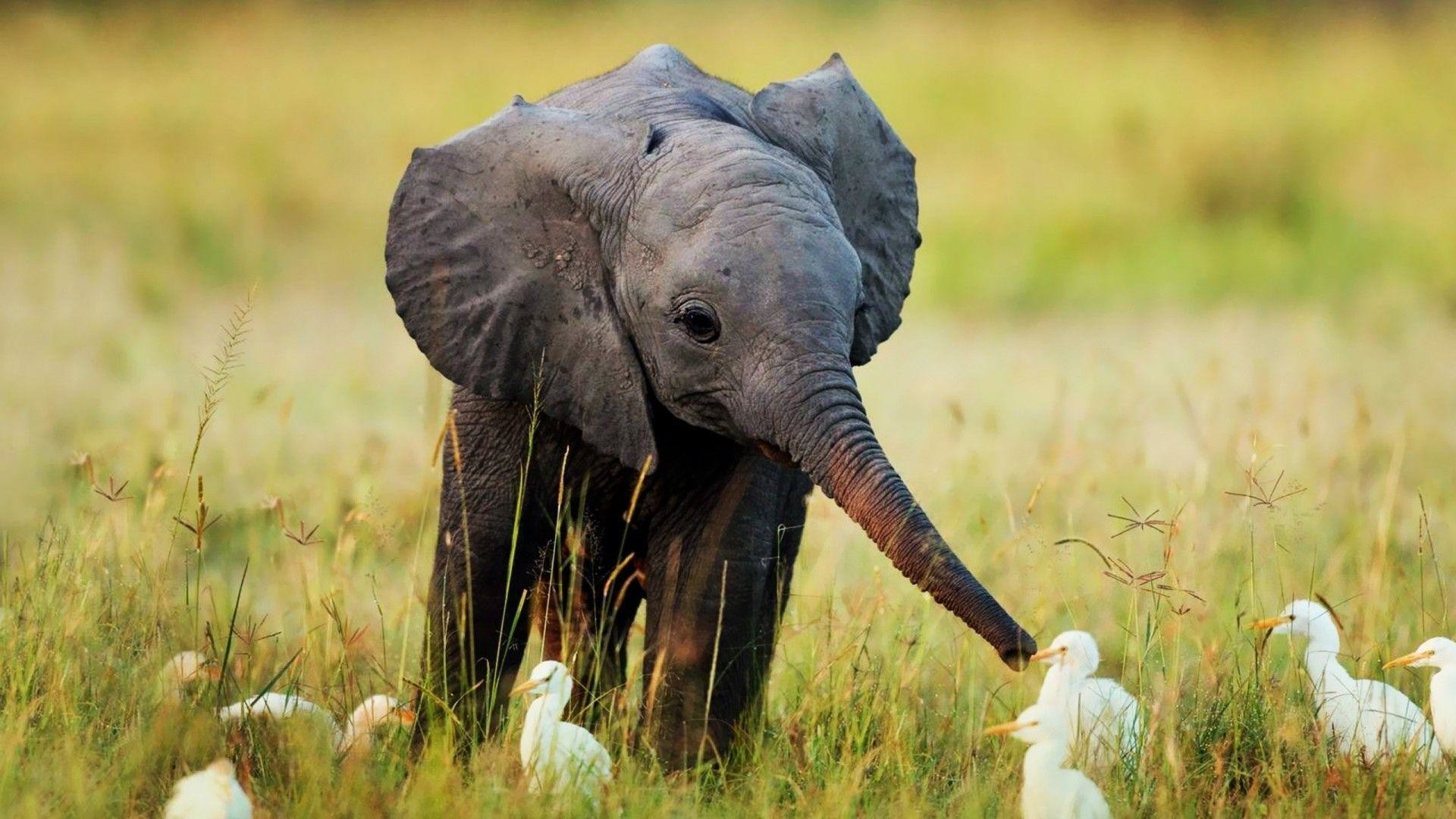 Res: 1920x1080,  Baby Elephant Wallpapers