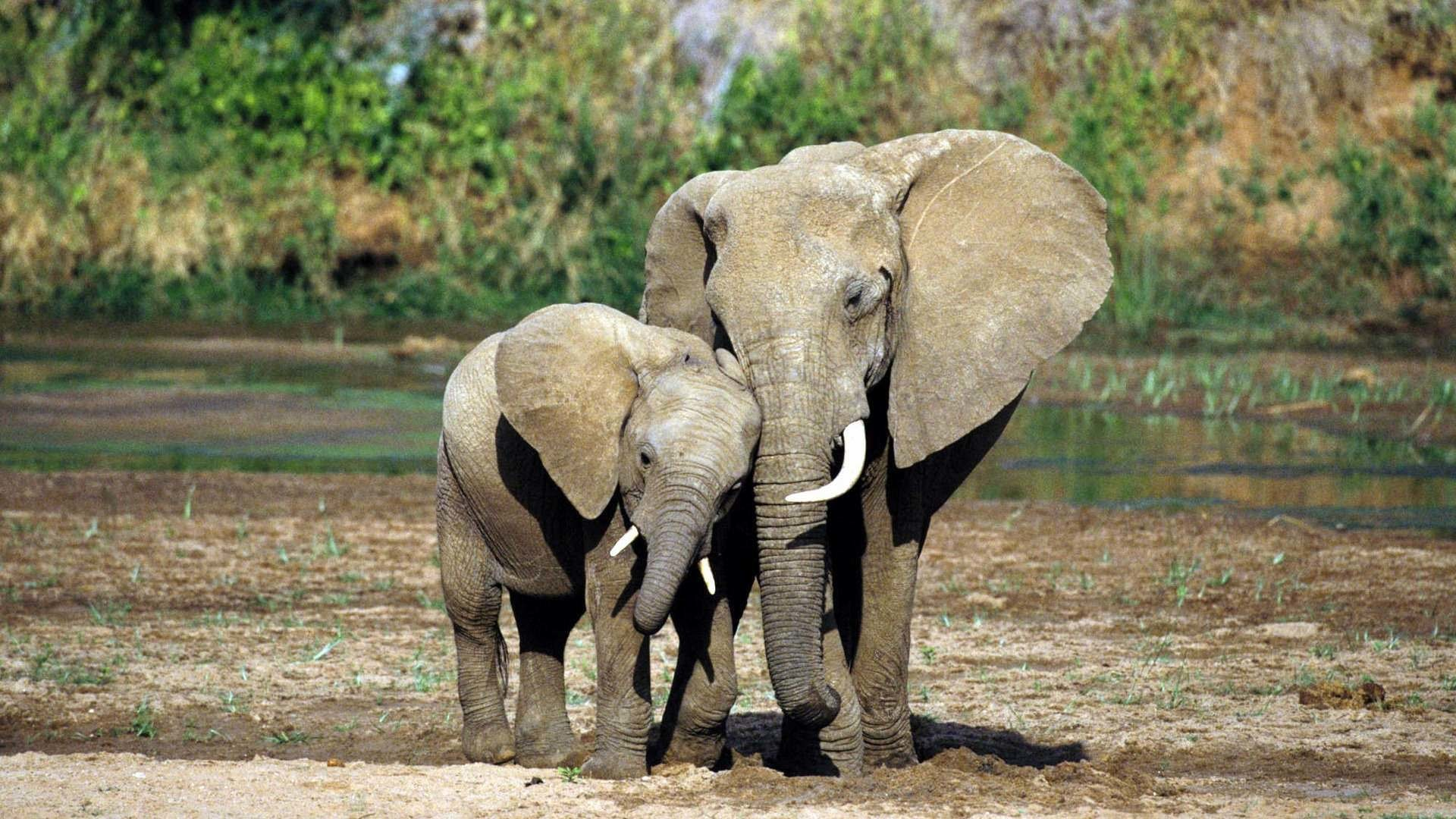Res: 1920x1080, HD Images Collection of Elephant: 5601072 by Sebrina Camarillo; Stunning HD  Wallpapers ...