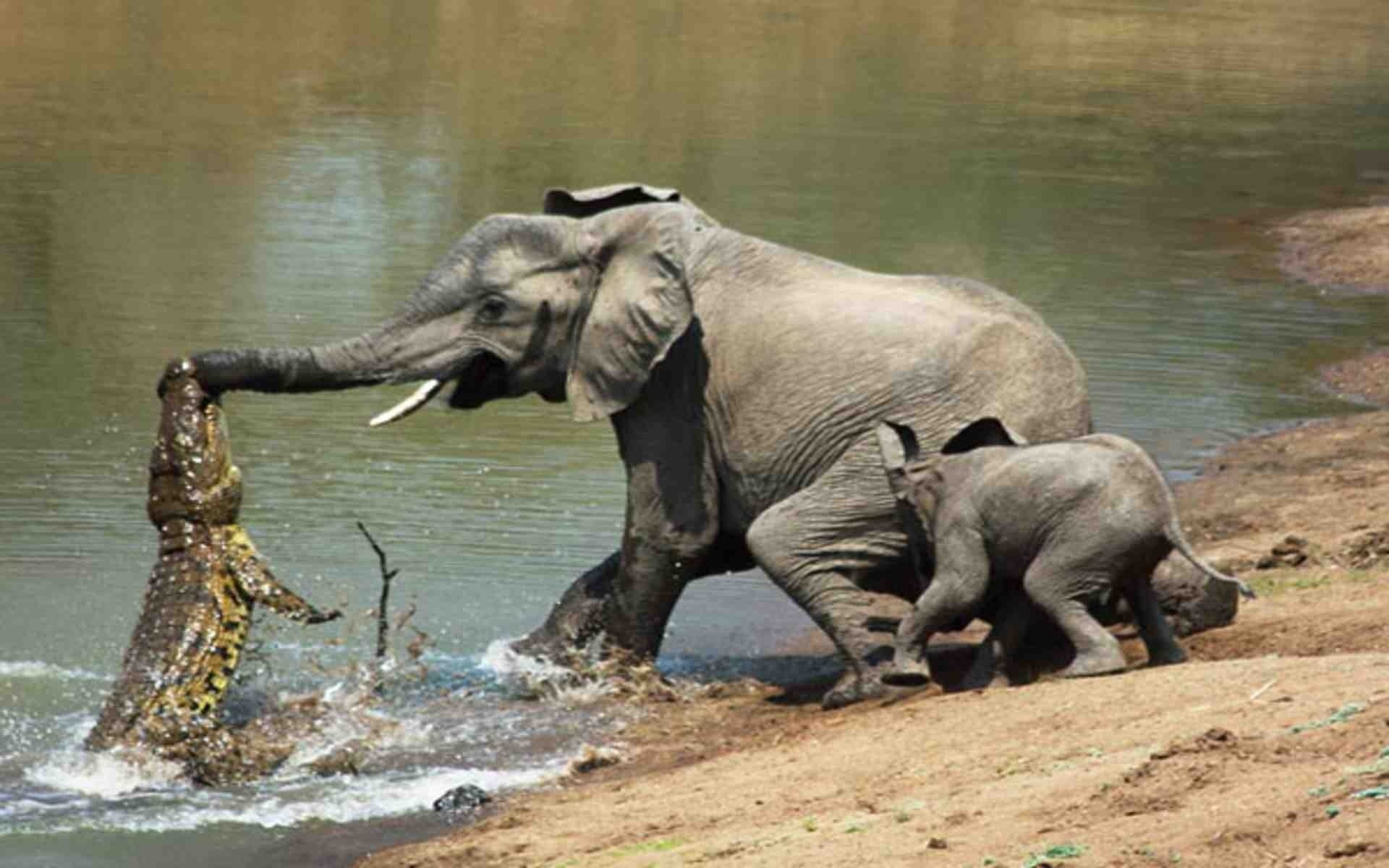 Res: 1920x1200, Fight-with-African-Elephant-and-Crocodile-HD-Photo