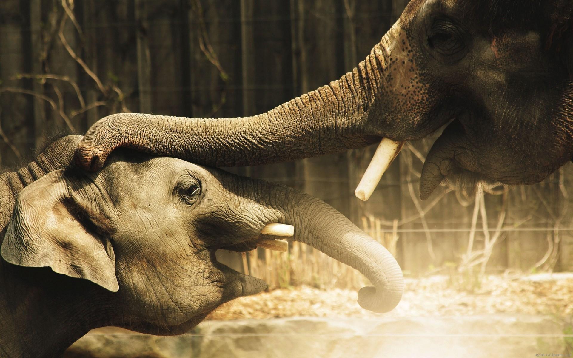 Res: 1920x1200, elephant desktop background Fond décran Eléphants joueurs - My HD Wallpapers