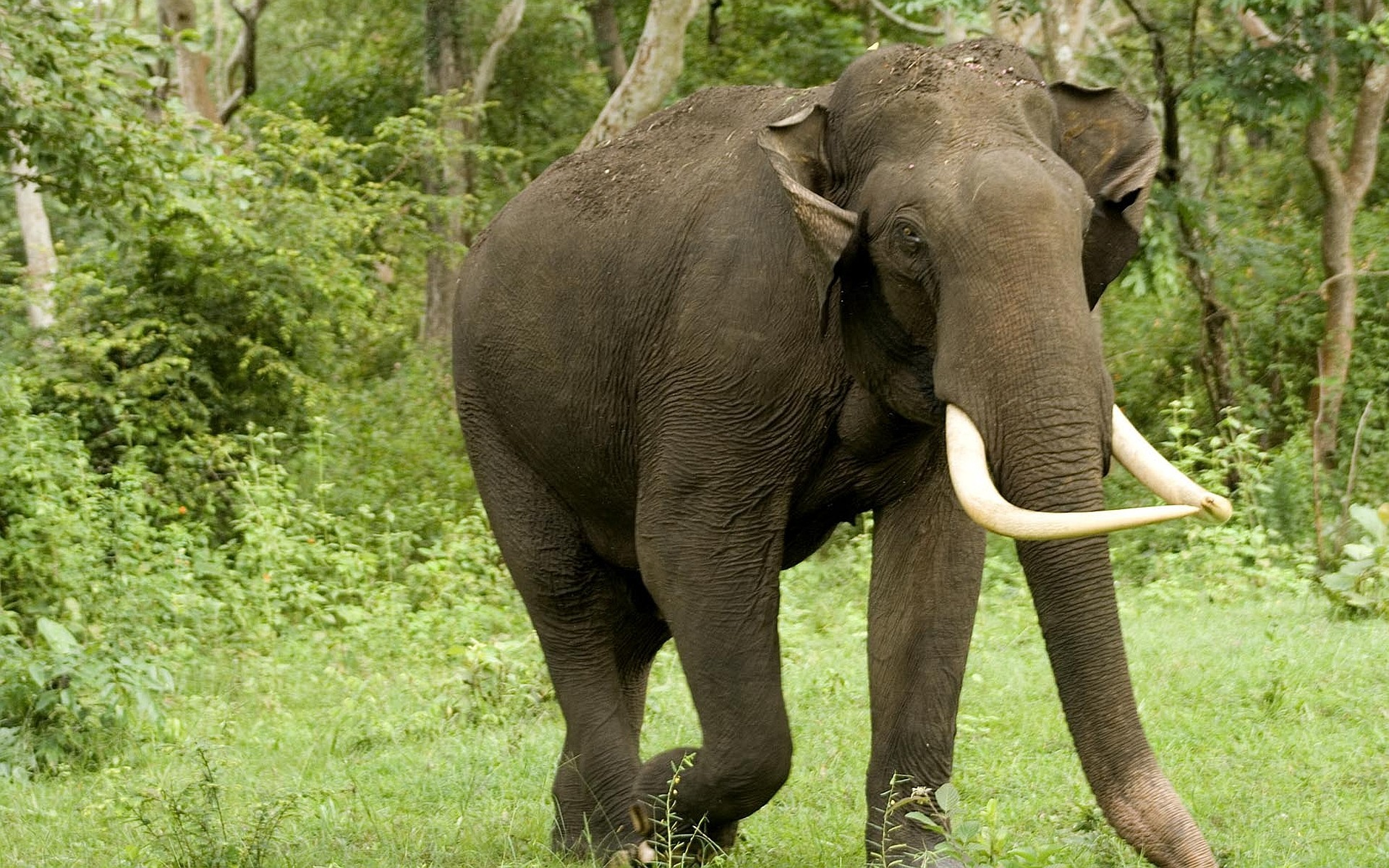 Res: 1920x1200, 2560x1600 Preview wallpaper elephant, tusks, trunk, africa, savanna  2560x1600